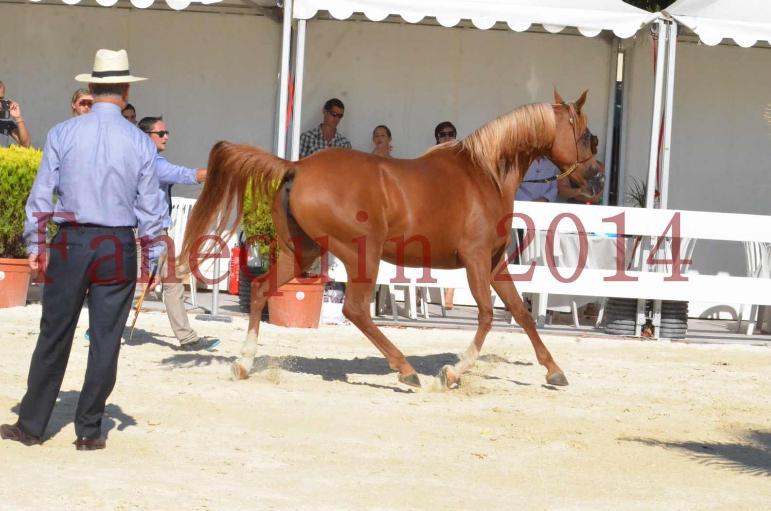 Concours National de Nîmes de chevaux ARABES 2014 - Championnat - MASSAI DE BARREL - 80