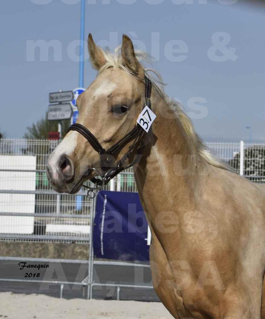 Concours d'élevage de Chevaux Arabes - Demi Sang Arabes - Anglo Arabes - ALBI les 6 & 7 Avril 2018 - GOLD DE DARRE - Notre Sélection - Portraits - 2