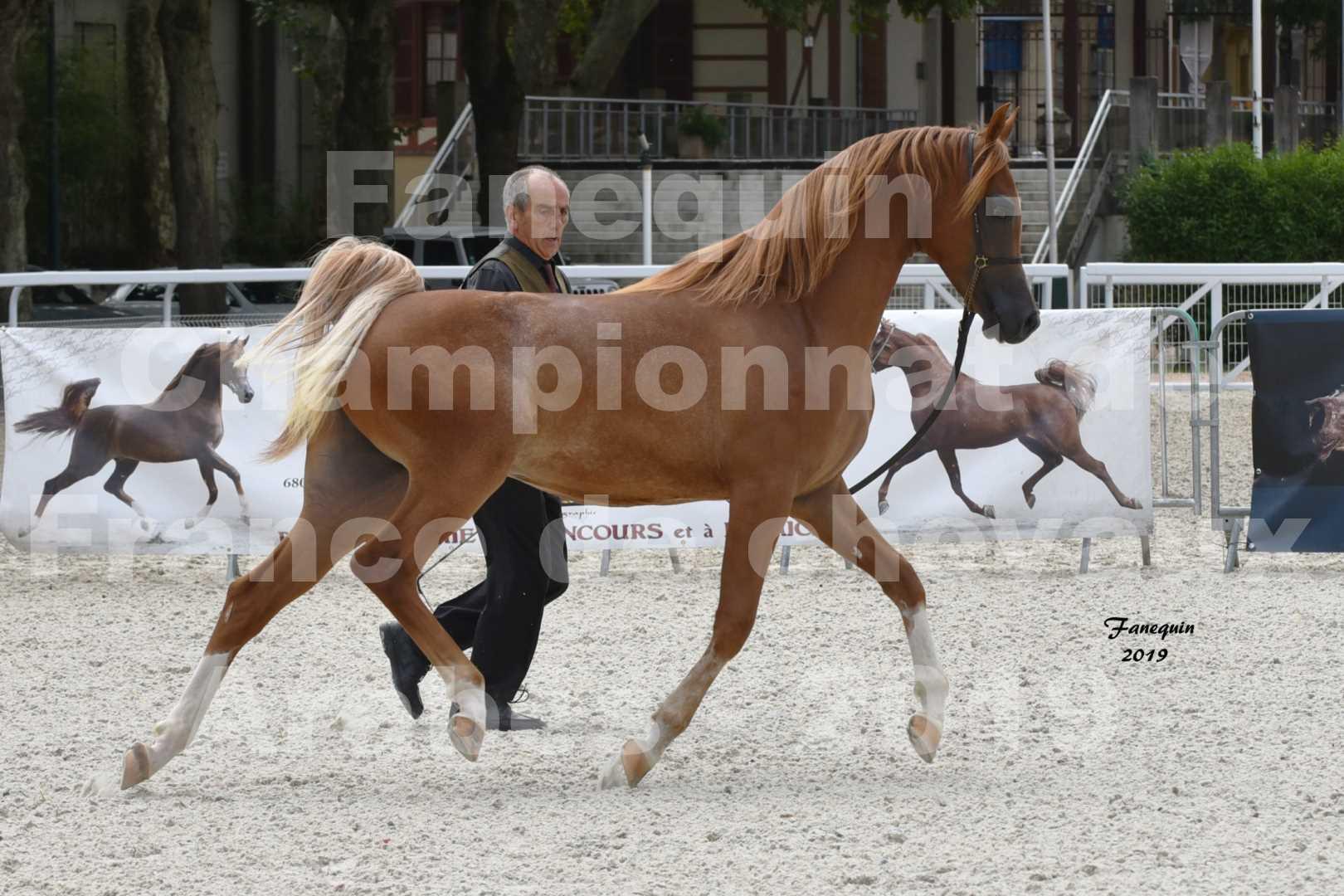 Championnat de France des chevaux Arabes en 2019 à VICHY - NILMANI SH - 5