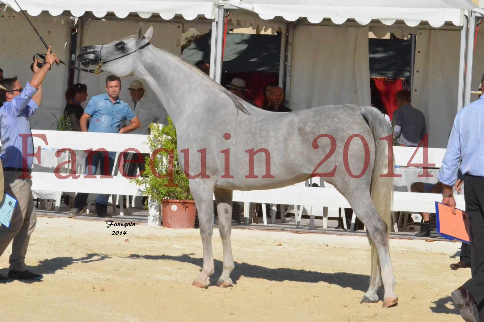 Concours National de Nîmes de chevaux ARABES 2014 - Notre Sélection - ELLESTERA - 17