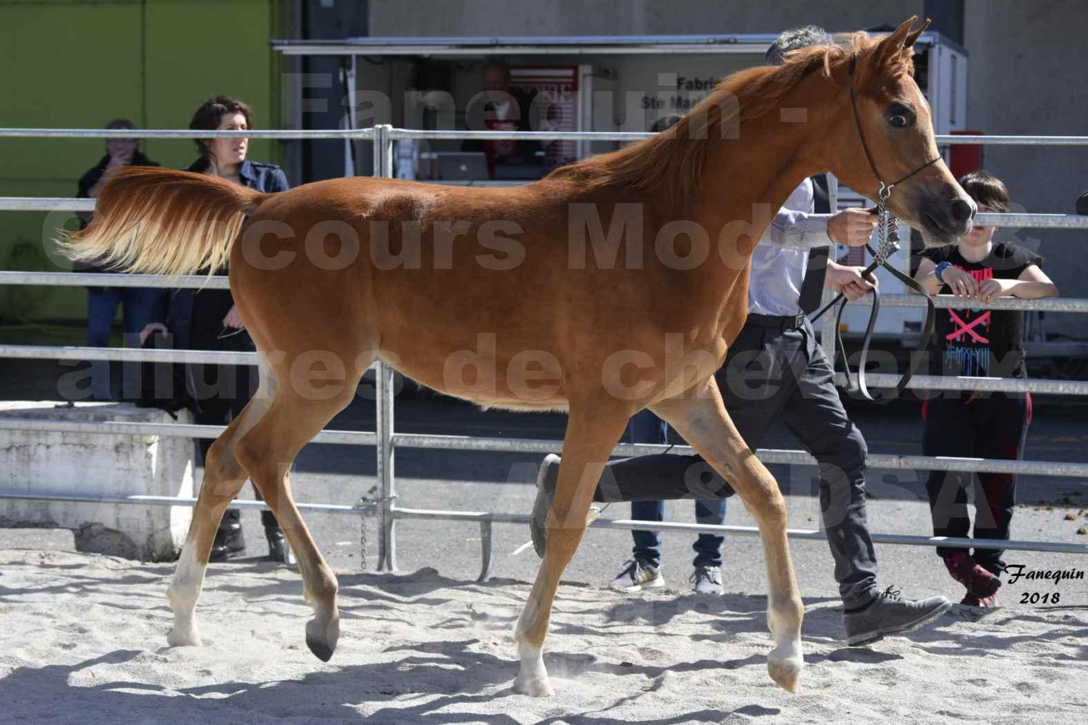 Concours d'élevage de Chevaux Arabes - D S A - A A - ALBI les 6 & 7 Avril 2018 - MARCUS DE LAFON - Notre Sélection - 3