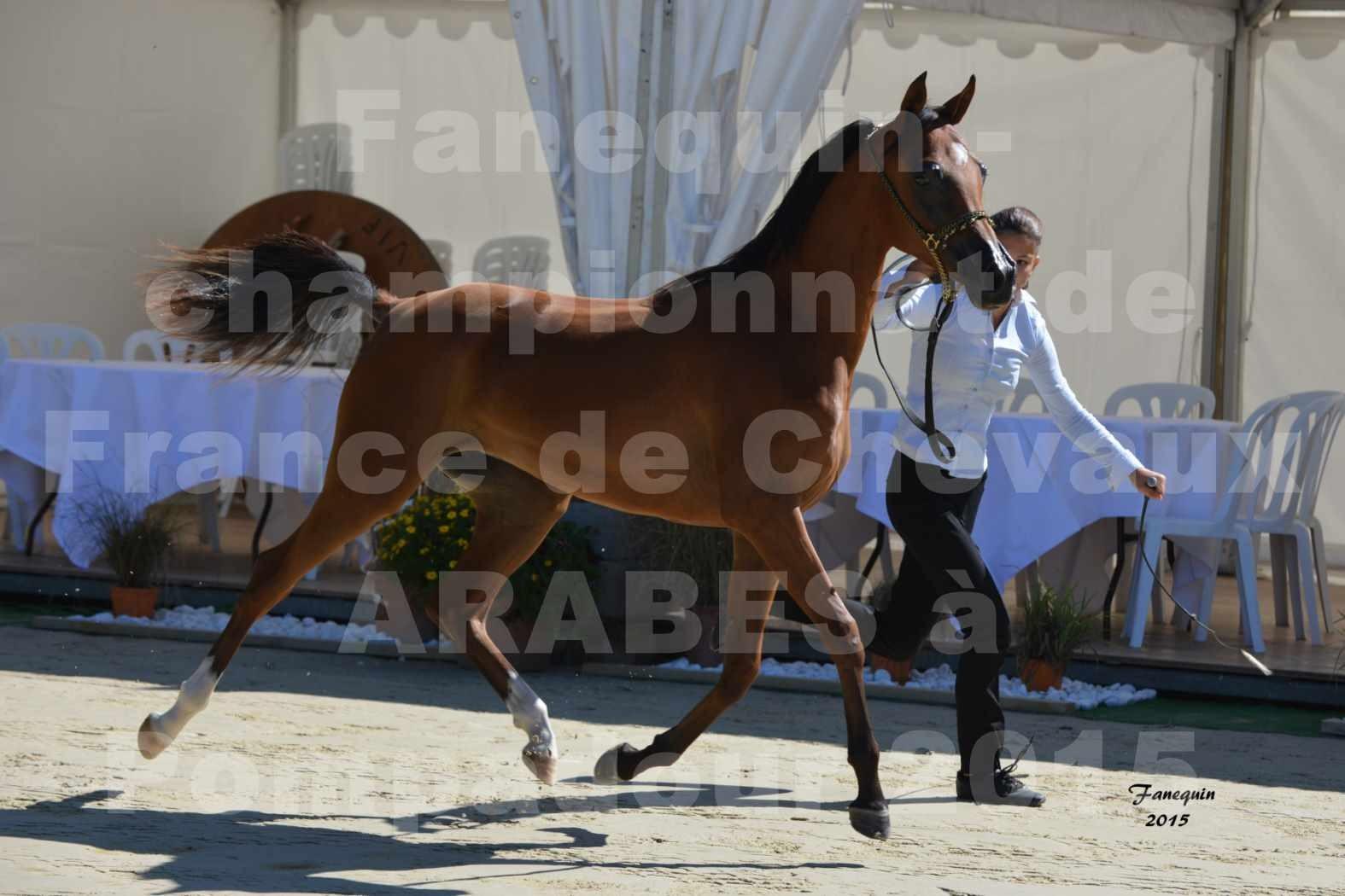 Championnat de FRANCE du cheval ARABE à POMPADOUR les 21, 22 & 23 Août 2015 - Classe Amateur