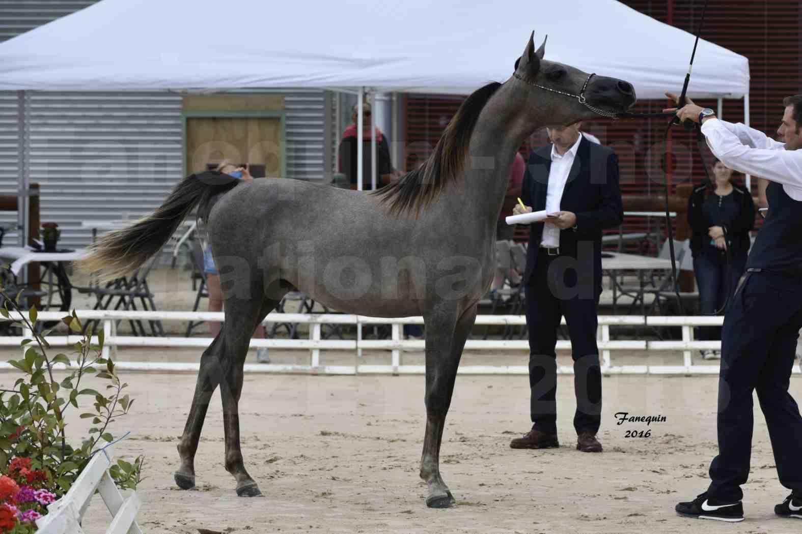Show national de chevaux arabe de CHAZEY sur AIN - FALOUKA - 2