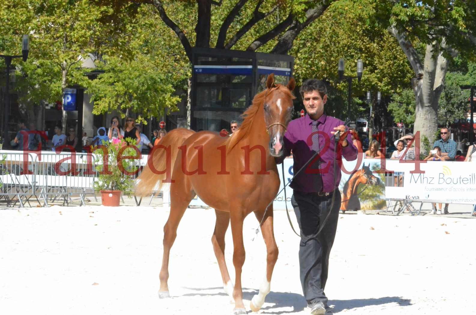 Concours National de Nîmes de chevaux ARABES 2014 - TSAR NERIO - 11