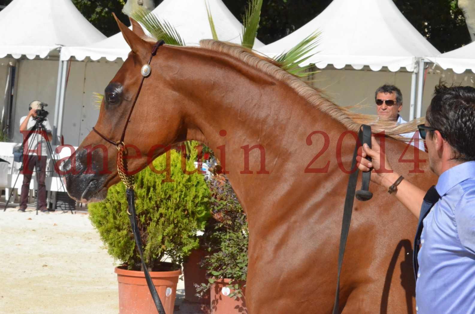 Concours National de Nîmes de chevaux ARABES 2014 - Championnat - MASSAI DE BARREL - 66