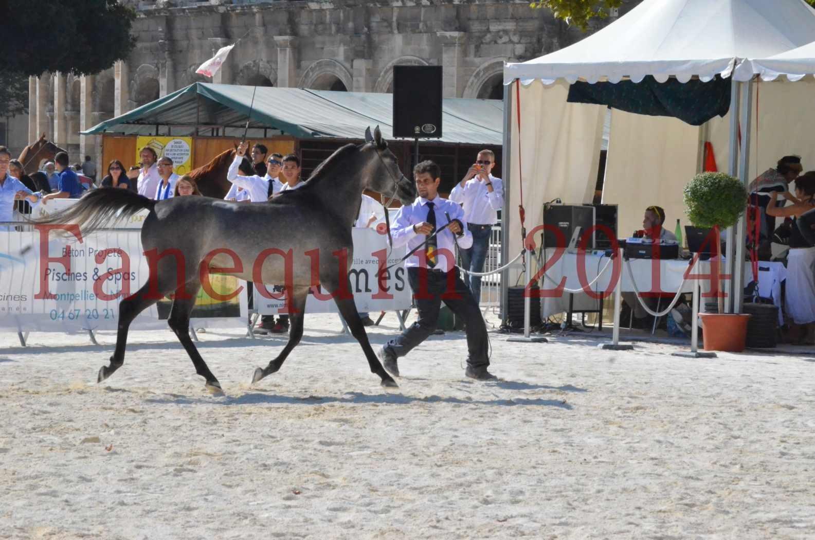 Concours National de Nîmes de chevaux ARABES 2014 - Championnat - JOSEPH'S BOUZIOLS - C 01
