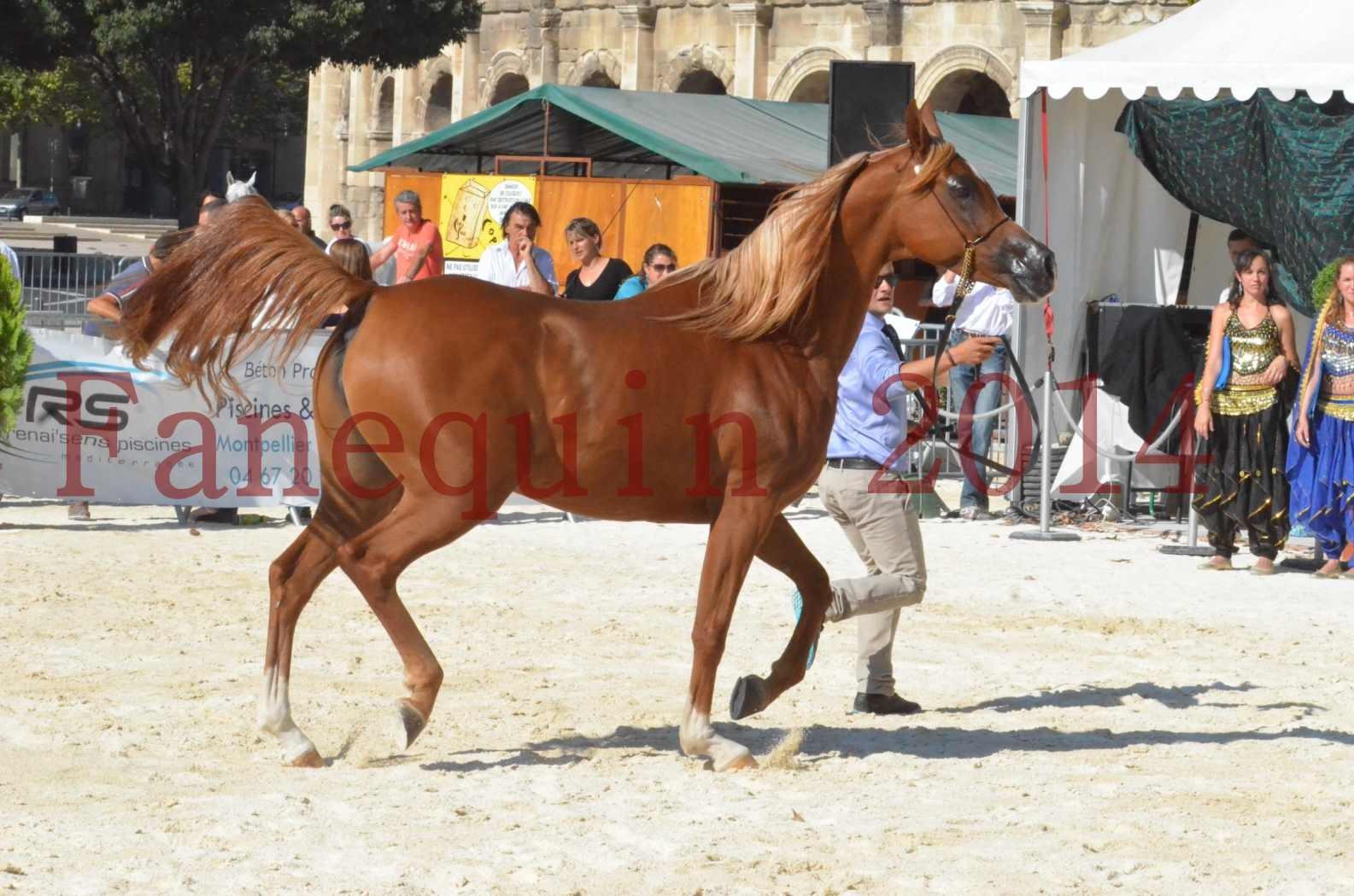 Concours National de Nîmes de chevaux ARABES 2014 - Championnat - MASSAI DE BARREL - 76