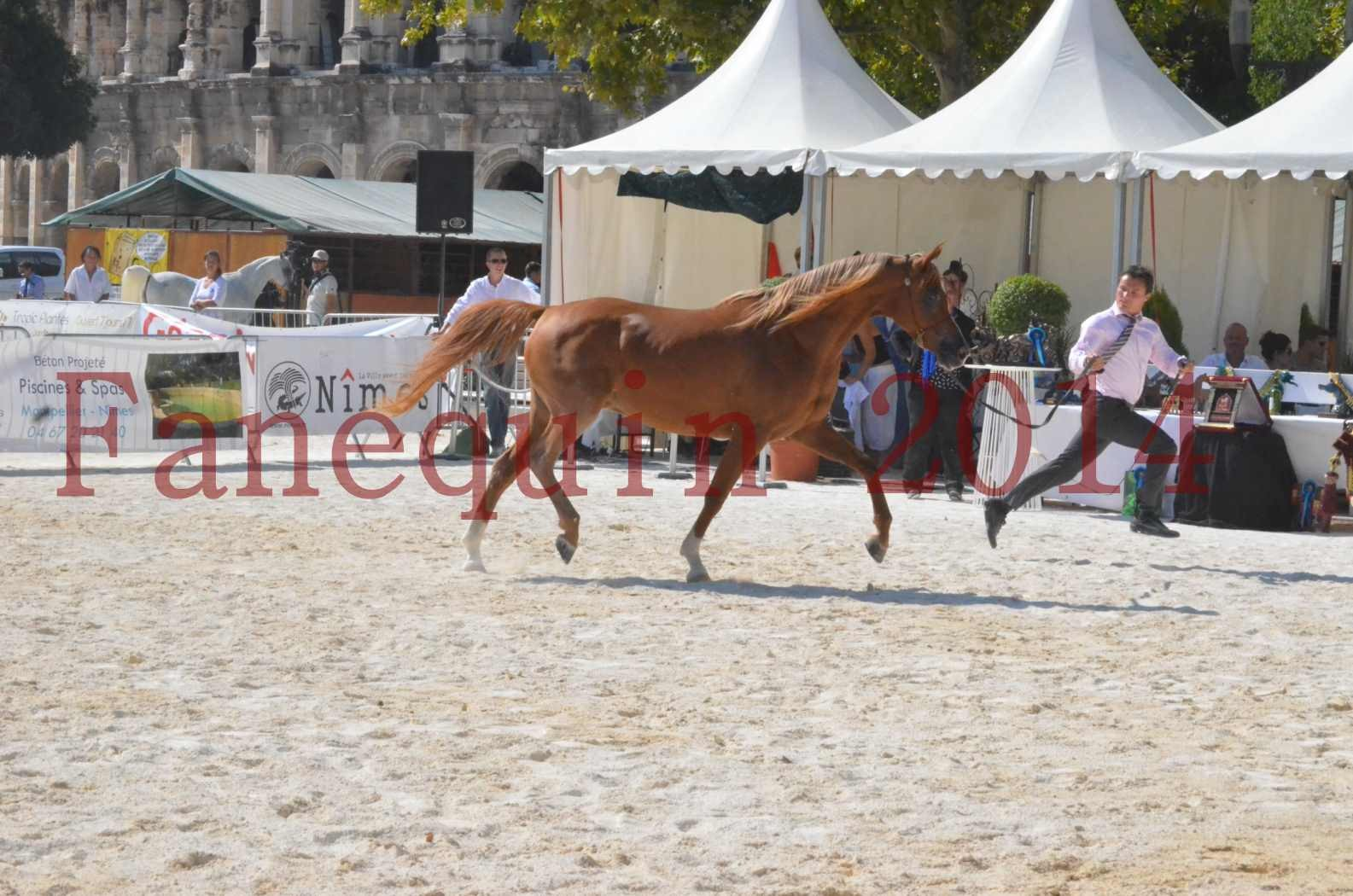 Concours National de Nîmes de chevaux ARABES 2014 - Championnat - MASSAI DE BARREL - 12
