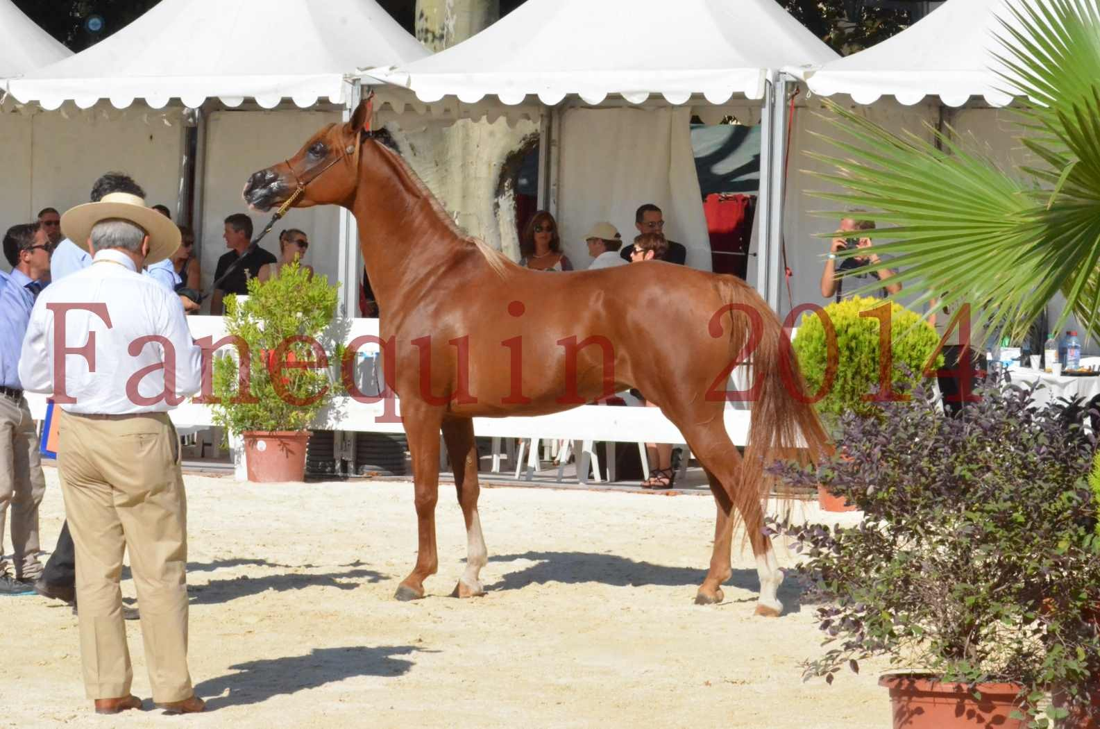 Concours National de Nîmes de chevaux ARABES 2014 - Championnat - MASSAI DE BARREL - 85