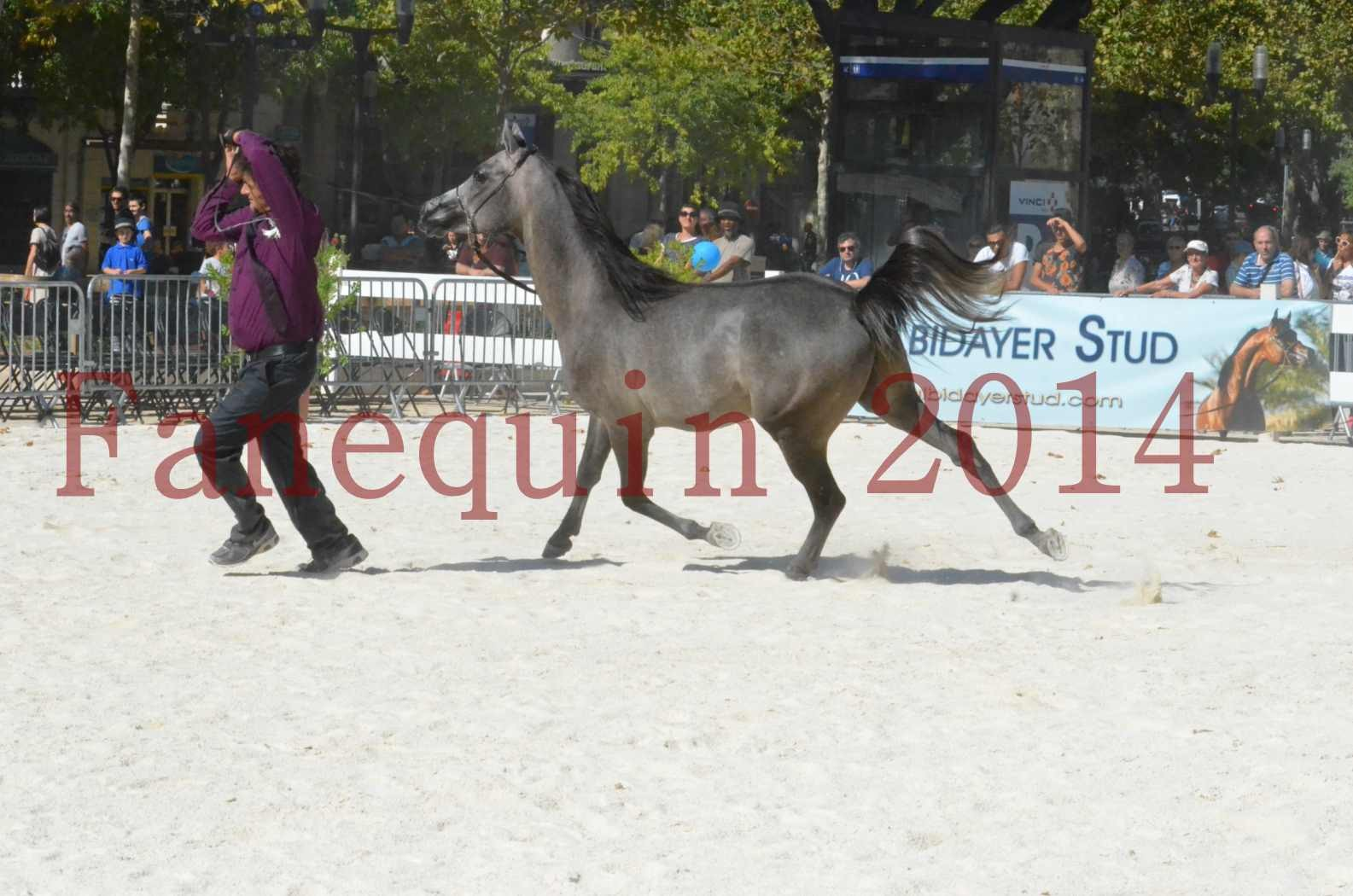 Concours National de Nîmes de chevaux ARABES 2014 - Championnat - JOSEPH'S BOUZIOLS - S 12