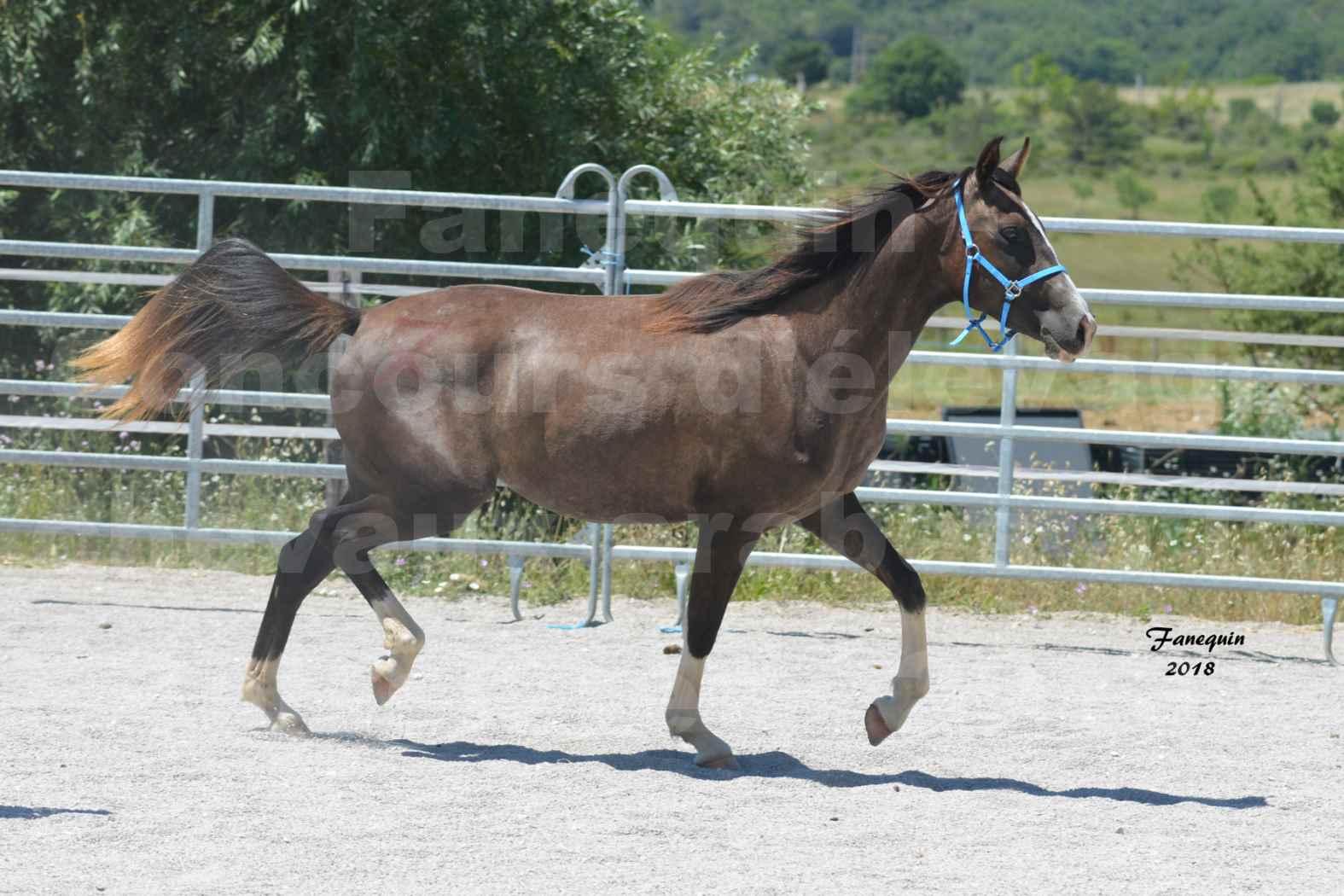 Concours d'Elevage de chevaux Arabes  le 27 juin 2018 à la BOISSIERE - GALICIA D'ALAUZE - 3