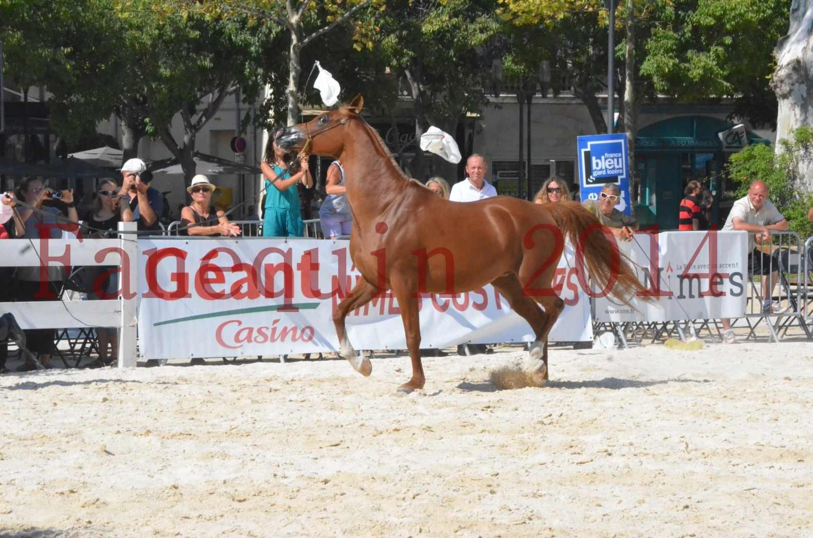 Concours National de Nîmes de chevaux ARABES 2014 - Championnat - MASSAI DE BARREL - 20