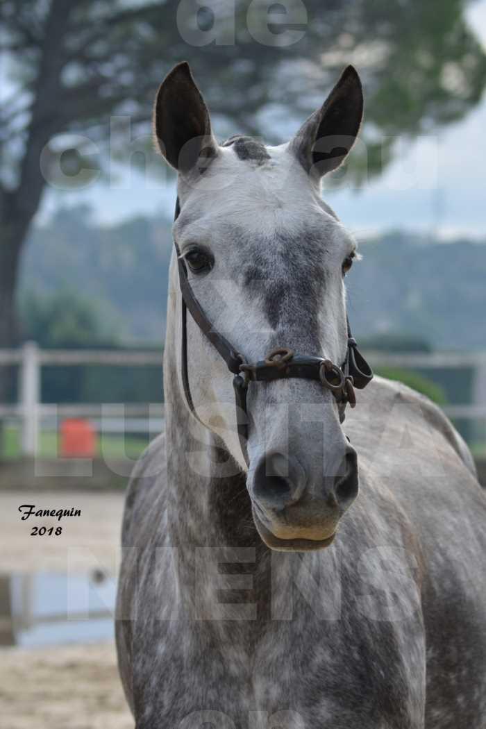 Confirmation de chevaux LUSITANIENS aux Haras d'UZES Novembre 2018 - JAVA DO REAL - Portraits - 3