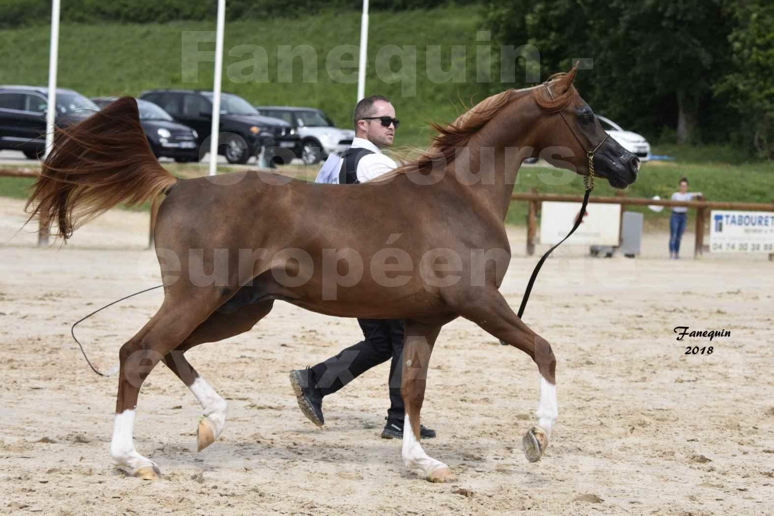 Concours Européen de chevaux Arabes à Chazey sur Ain 2018 - FANTASTIK - Notre Sélection - 1