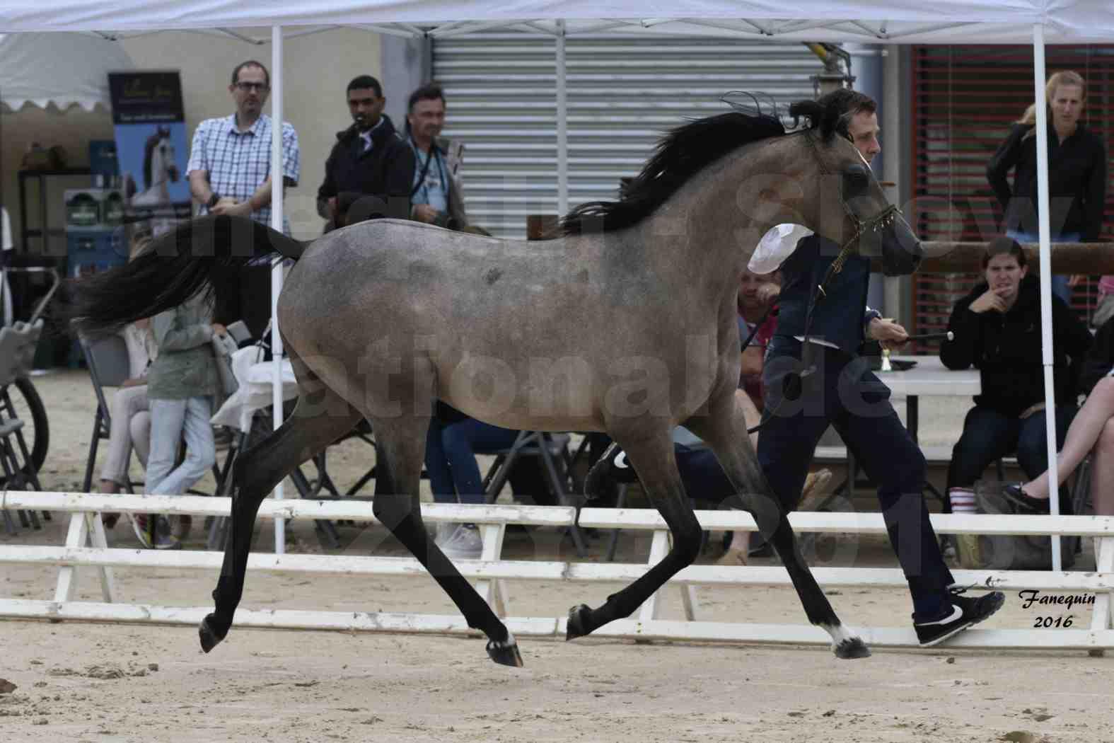 Show national de chevaux arabe de CHAZEY sur AIN - FALOUKA - 6