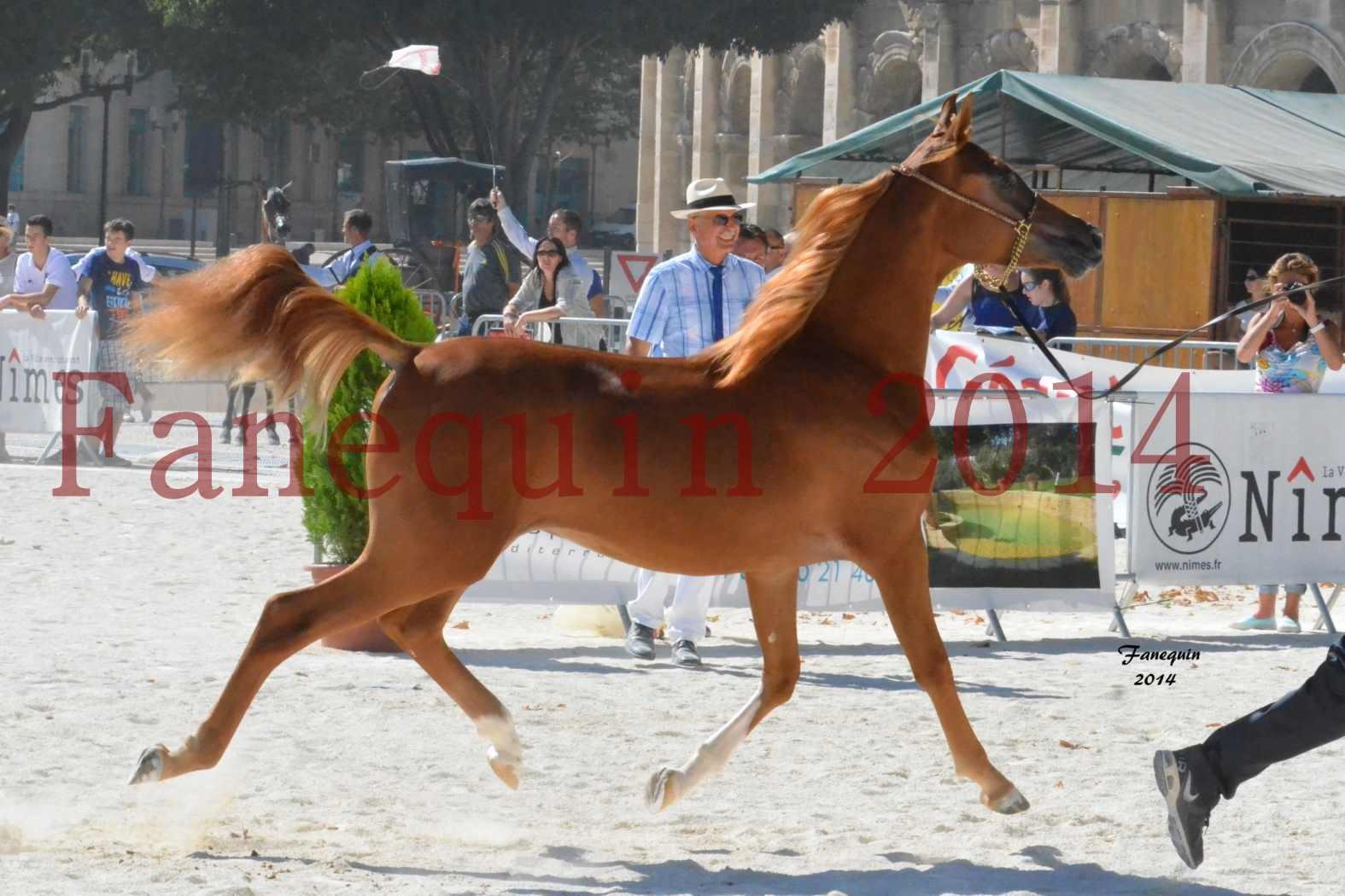 Concours National de Nîmes de chevaux ARABES 2014 - Notre Sélection - TSAR NERIO - 02