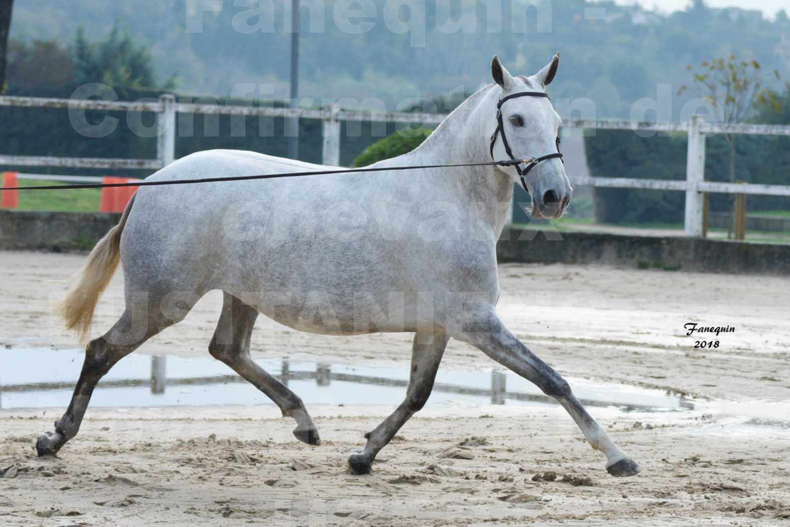 Confirmation de chevaux LUSITANIENS aux Haras d'UZES Novembre 2018 - DANAÏDE DU MOLE - 2