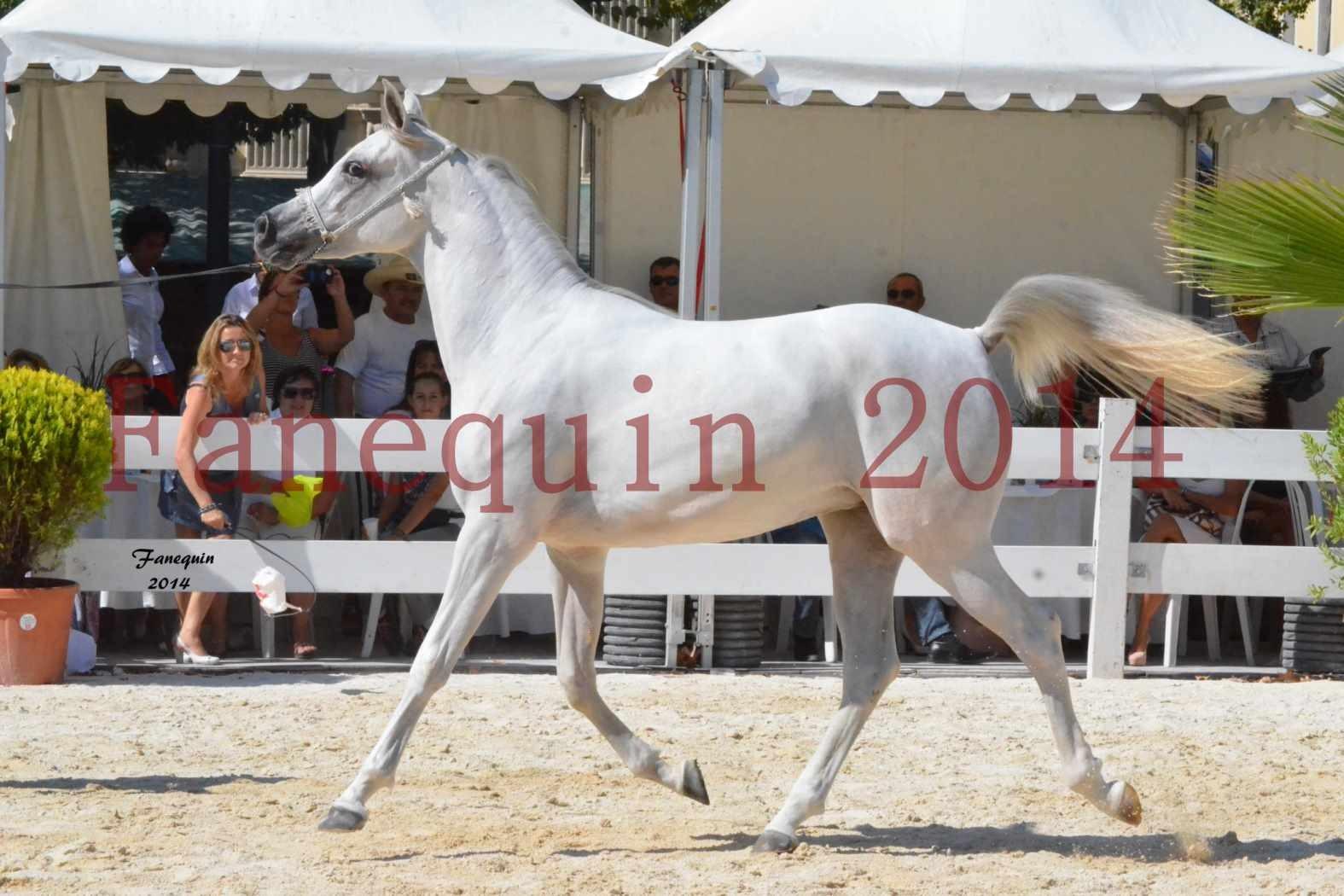 Concours National de Nîmes de chevaux ARABES 2014 - ENVY ETERNITY - 05
