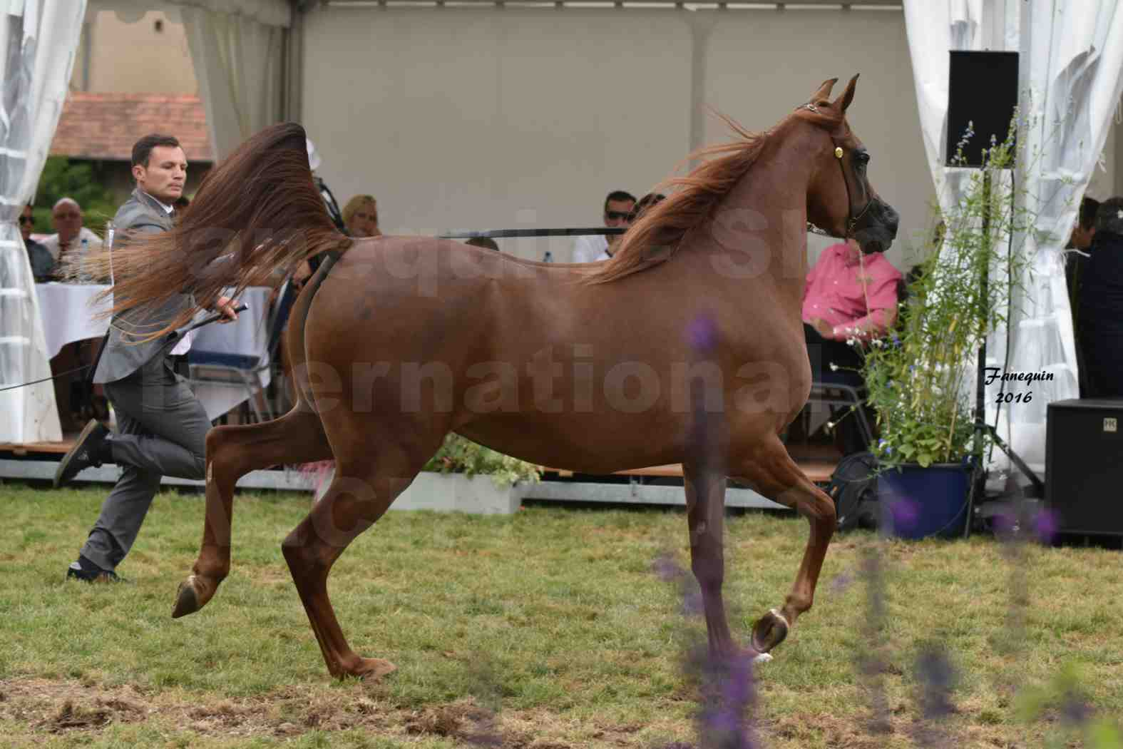 International Arabian Horse Show B de VICHY 2016 - PEARL DE DJOON - Notre Sélection - 20