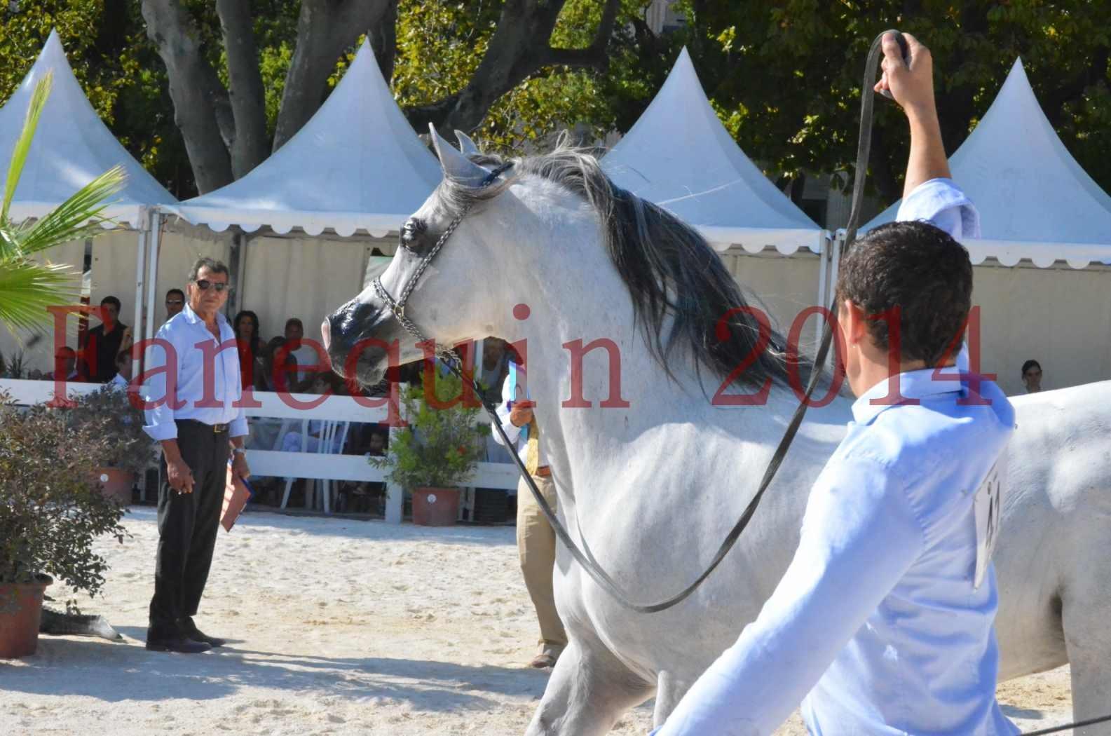 Concours National de Nîmes de chevaux ARABES 2014 - Championnat - SHAOLIN DE NEDJAIA - 34