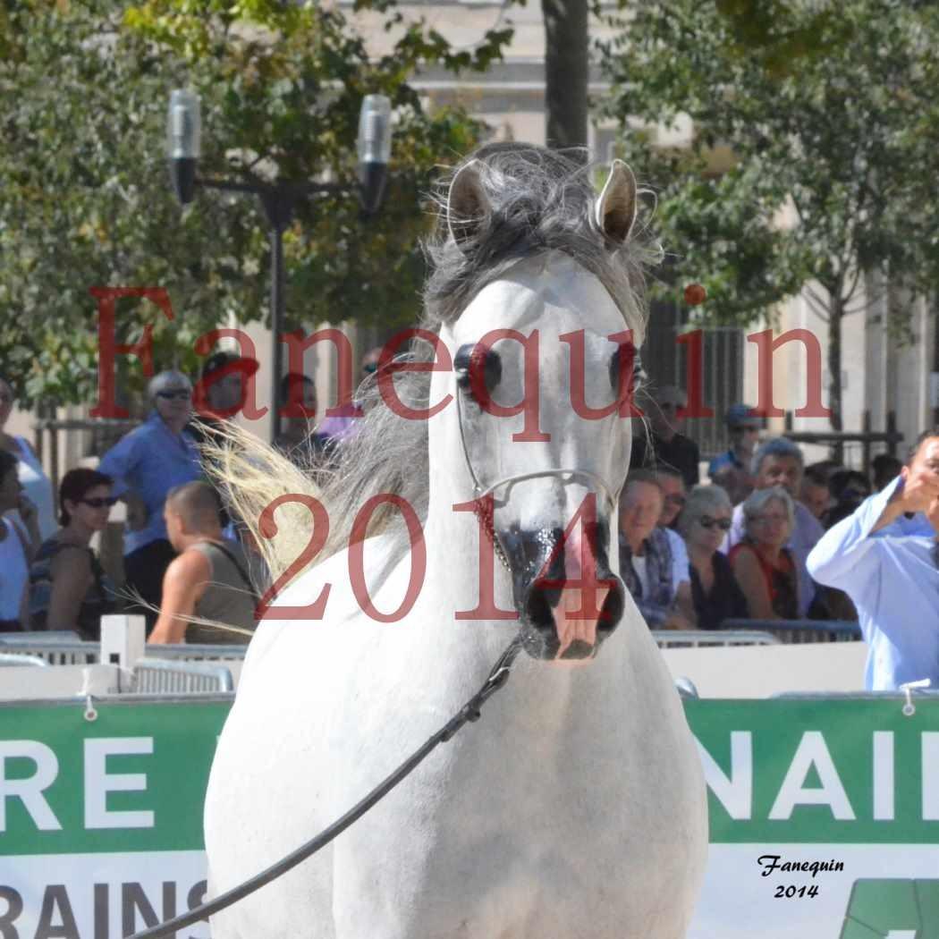 Concours National de Nîmes de chevaux ARABES 2014 - Notre Sélection - Portraits - SHAOLIN DE NEDJAIA - 08