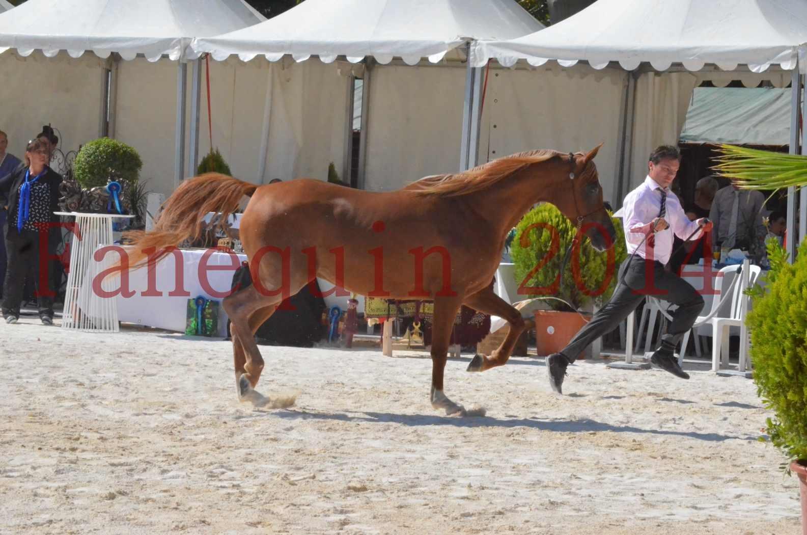 Concours National de Nîmes de chevaux ARABES 2014 - Championnat - MASSAI DE BARREL - 15