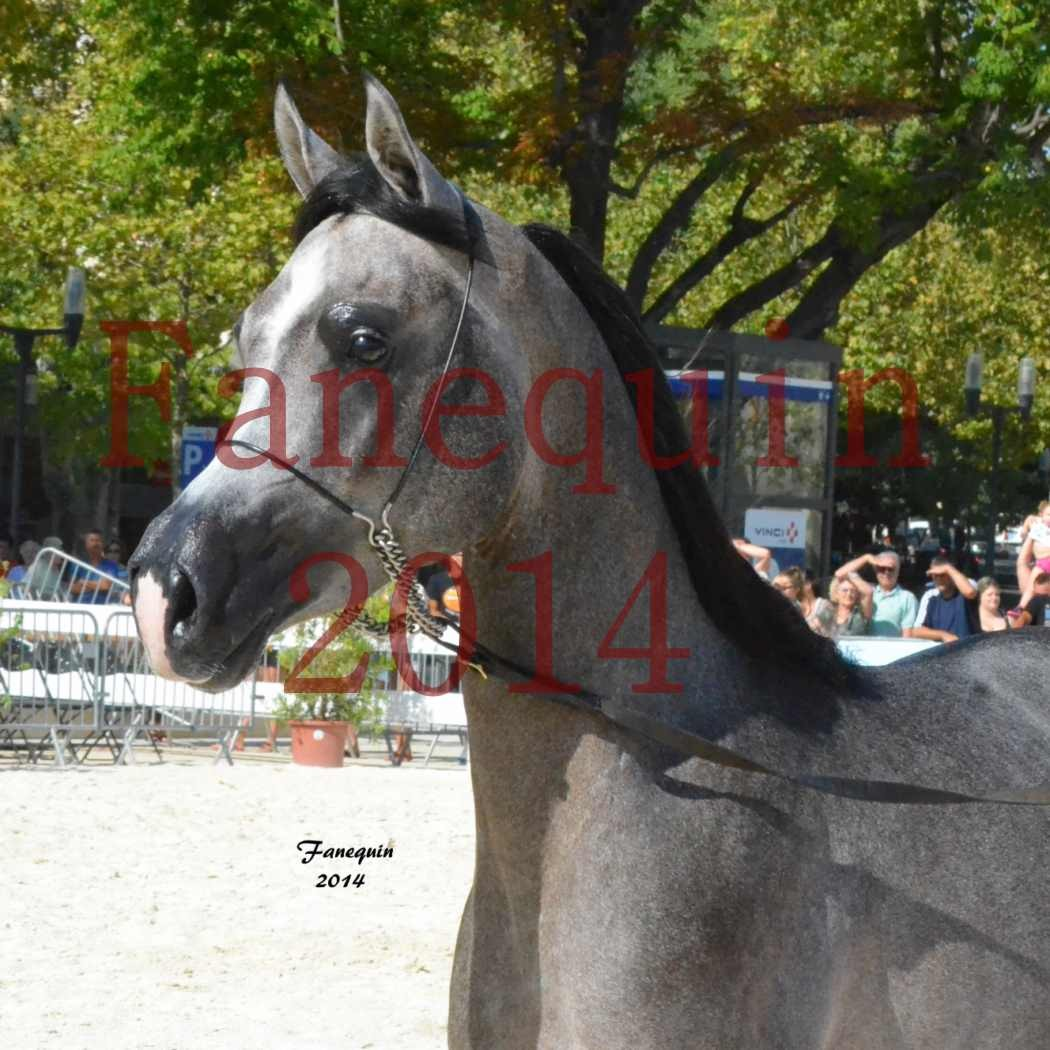 Concours National de Nîmes de chevaux ARABES 2014 - Notre Sélection - Portraits - JOSEPH'S BOUZIOLS - 06