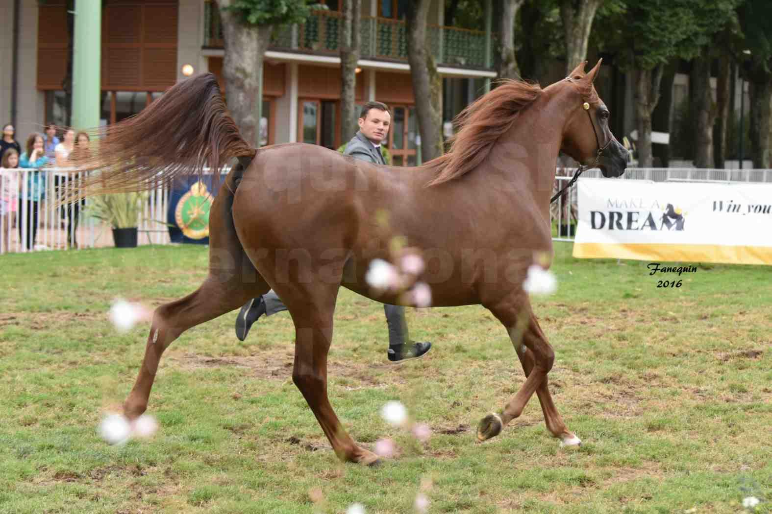 International Arabian Horse Show B de VICHY 2016 - PEARL DE DJOON - Notre Sélection - 17