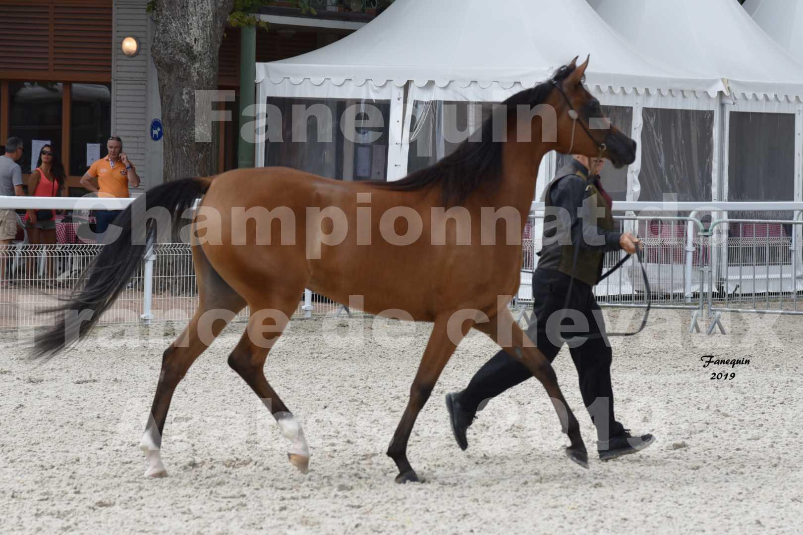 Championnat de France des chevaux Arabes en 2019 à VICHY - SH CHARISMA - 6