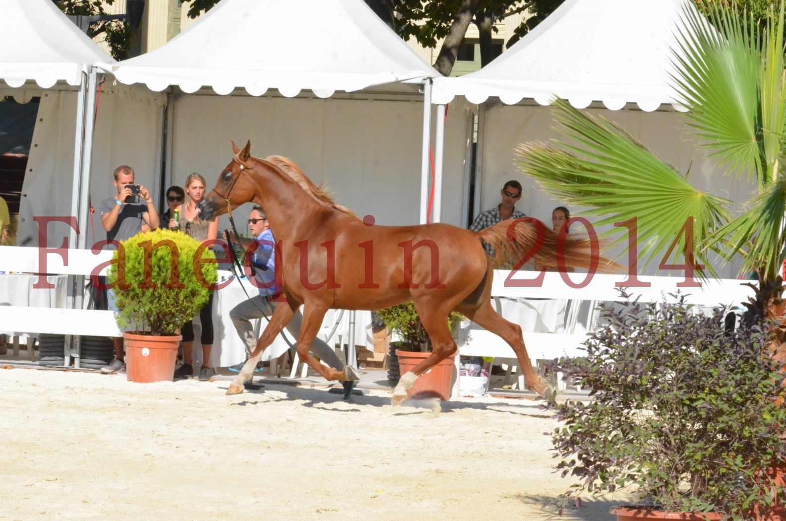 Concours National de Nîmes de chevaux ARABES 2014 - Championnat - MASSAI DE BARREL - 44