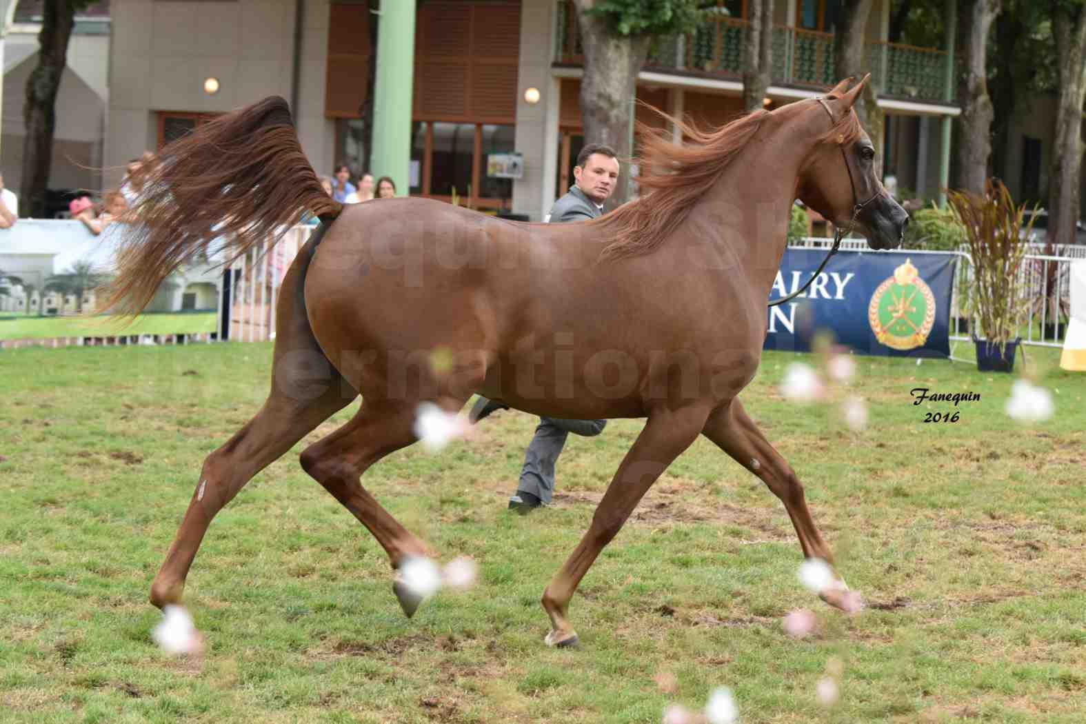 International Arabian Horse Show B de VICHY 2016 - PEARL DE DJOON - Notre Sélection - 16