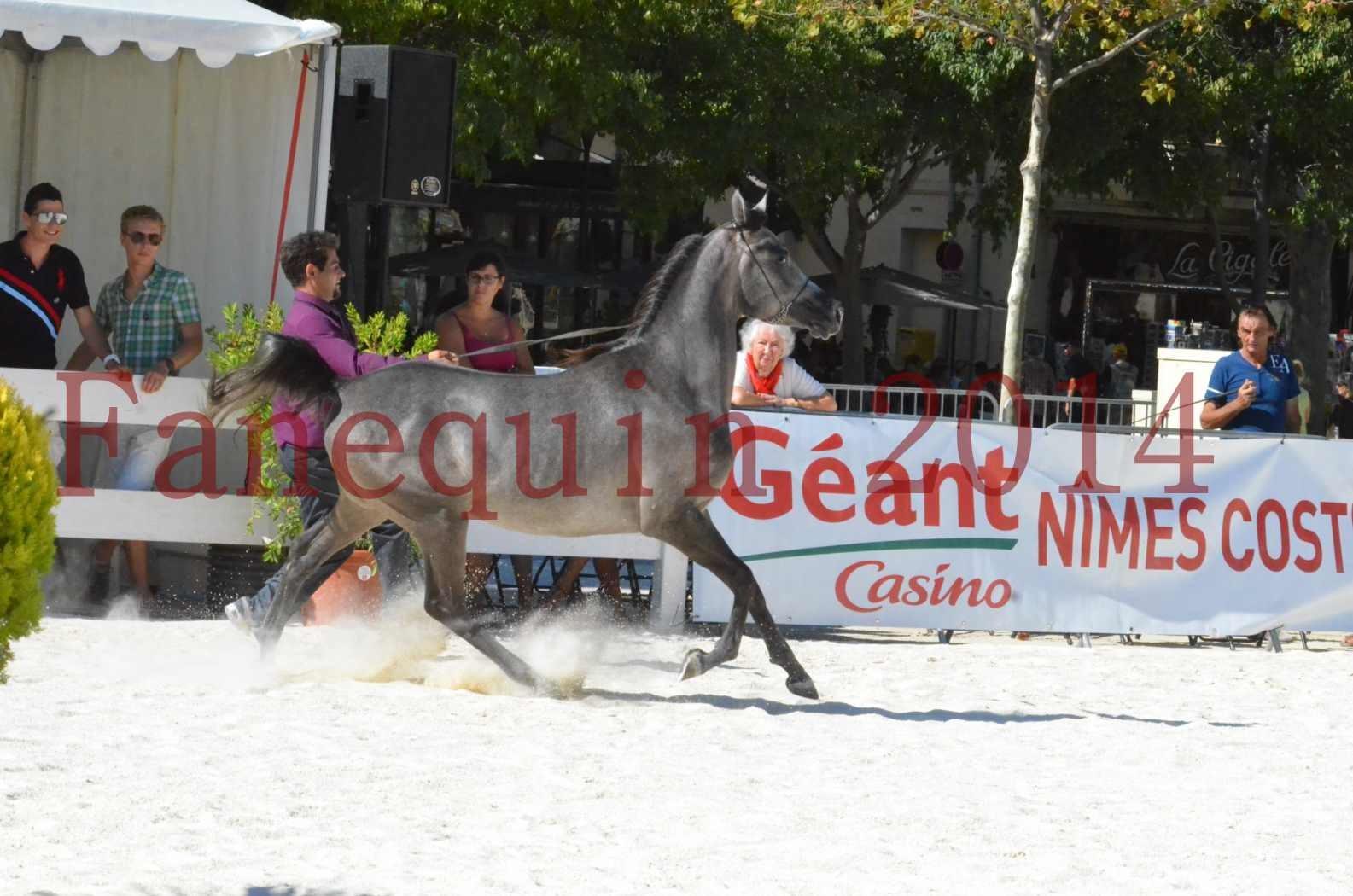 Concours National de Nîmes de chevaux ARABES 2014 - Championnat - JOSEPH'S BOUZIOLS - S 08