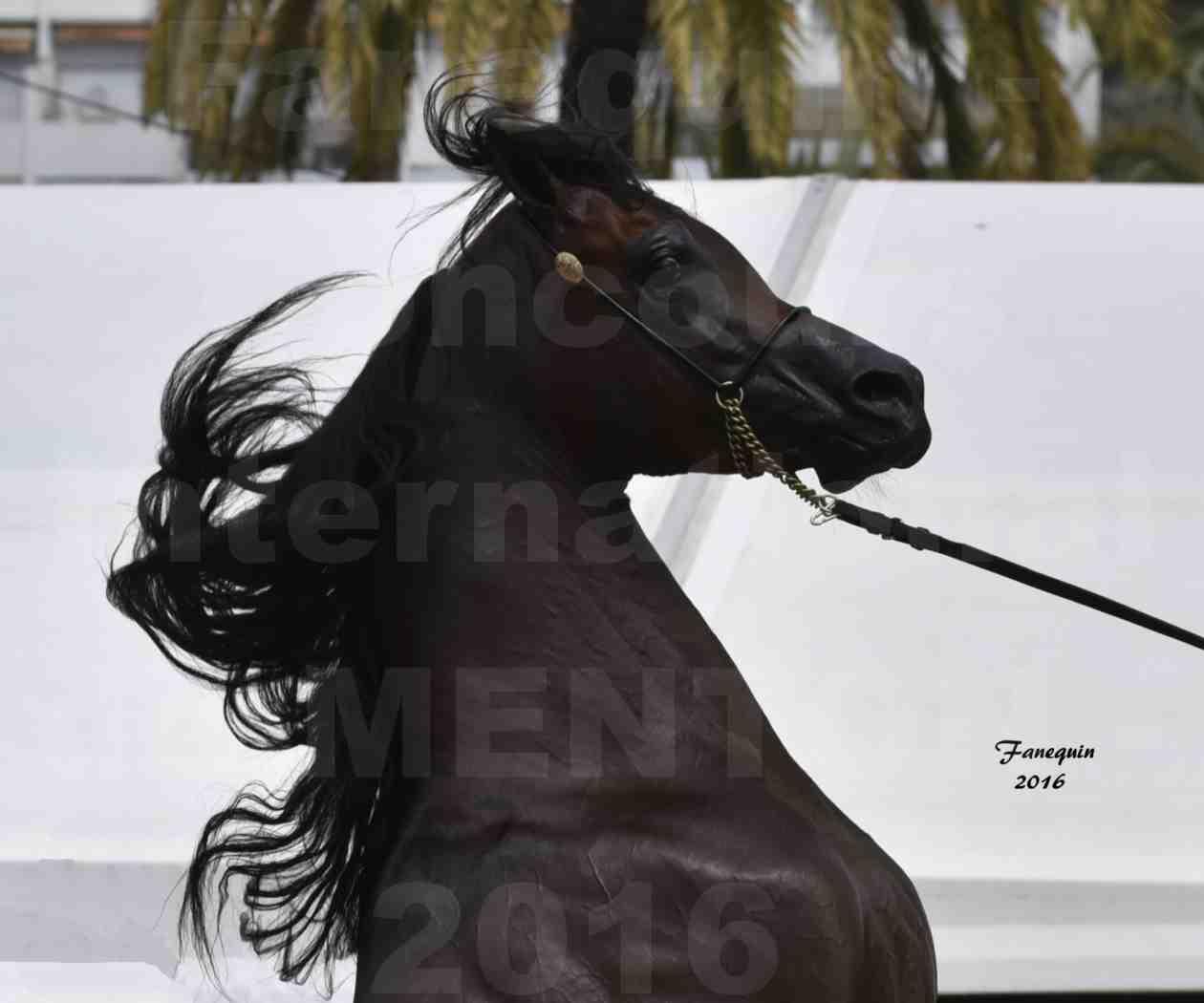 Championnat du pur-sang arabe de la Méditerranée et des pays arabes - MENTON 2016 - EKS ALIHANDRO - Notre Sélection - Portraits - 6