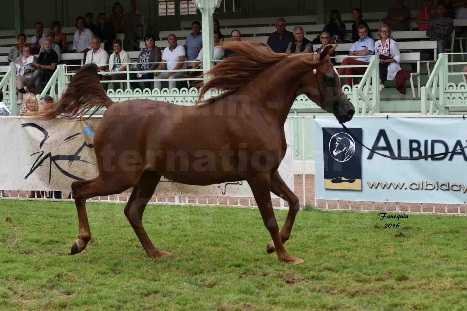 International Arabian Horse Show B de VICHY 2016 - PEARL DE DJOON - Notre Sélection - 04