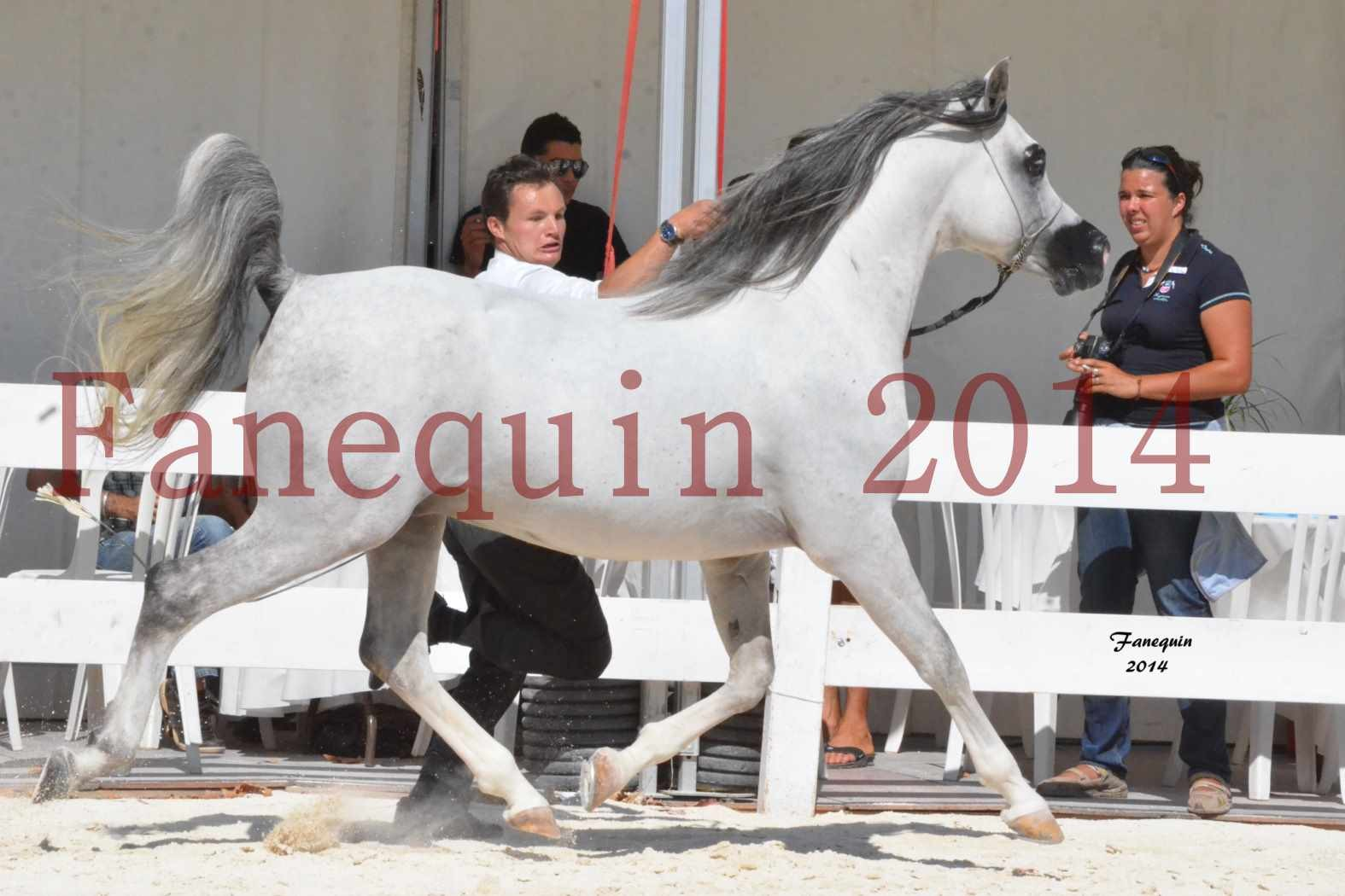 Concours National de Nîmes de chevaux ARABES 2014 - Notre Sélection - SHAOLIN DE NEDJAIA - 12