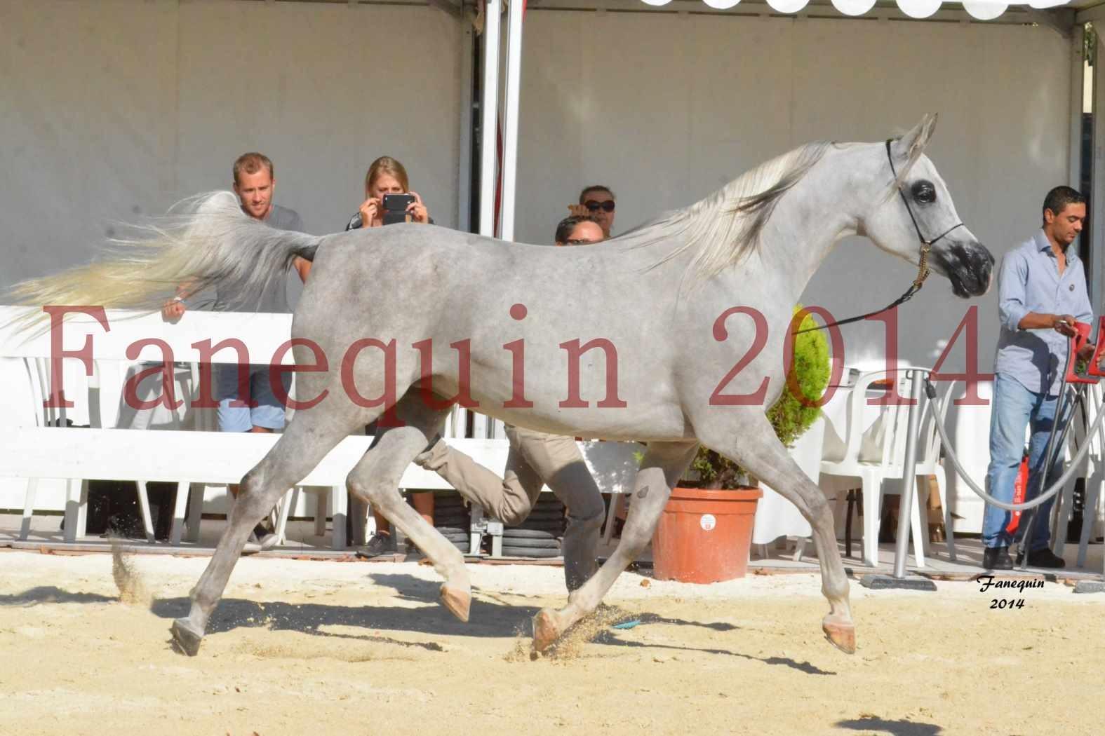 Concours National de Nîmes de chevaux ARABES 2014 - Notre Sélection - ELLESTERA - 10