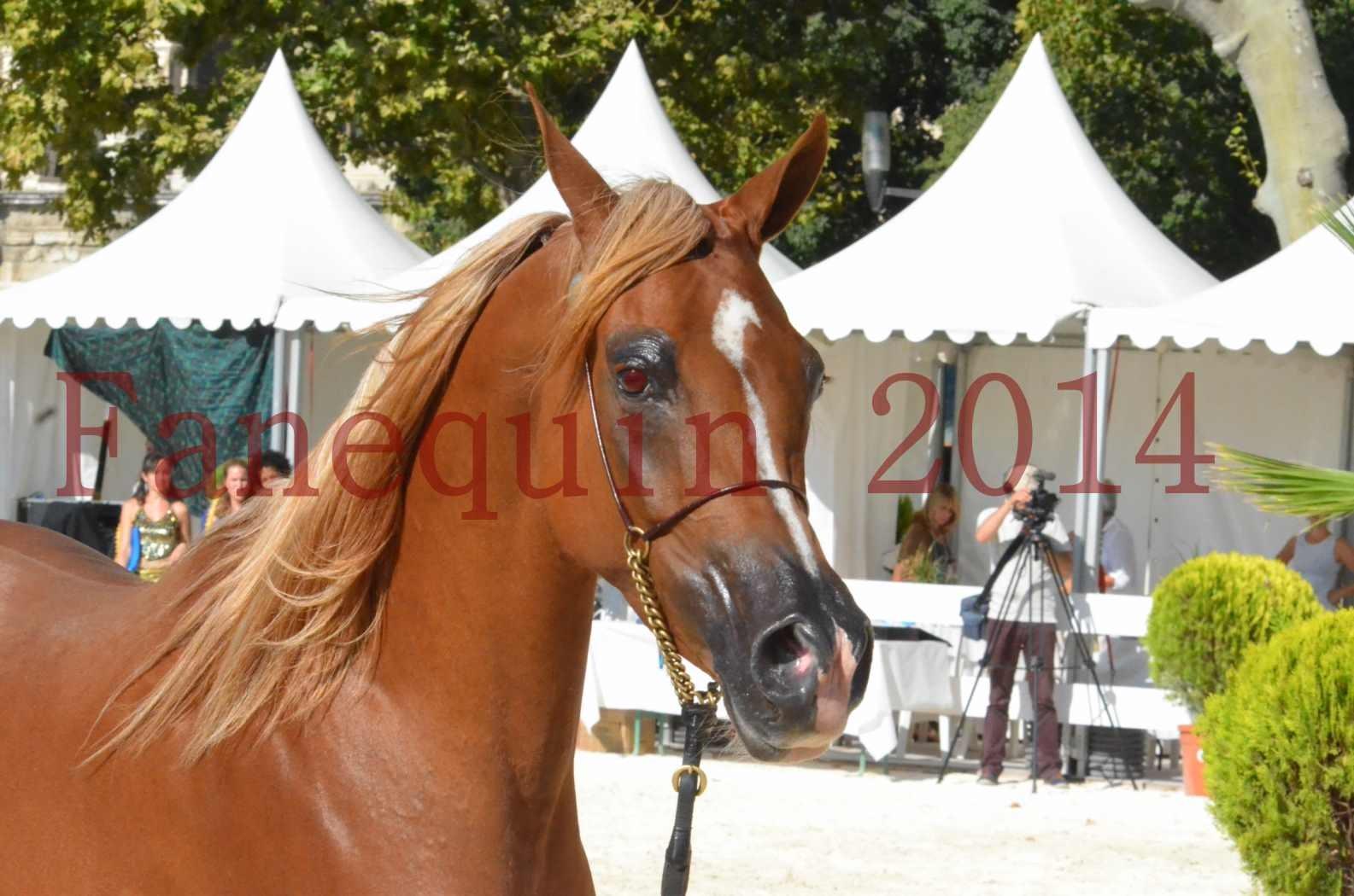 Concours National de Nîmes de chevaux ARABES 2014 - Championnat - MASSAI DE BARREL - 72