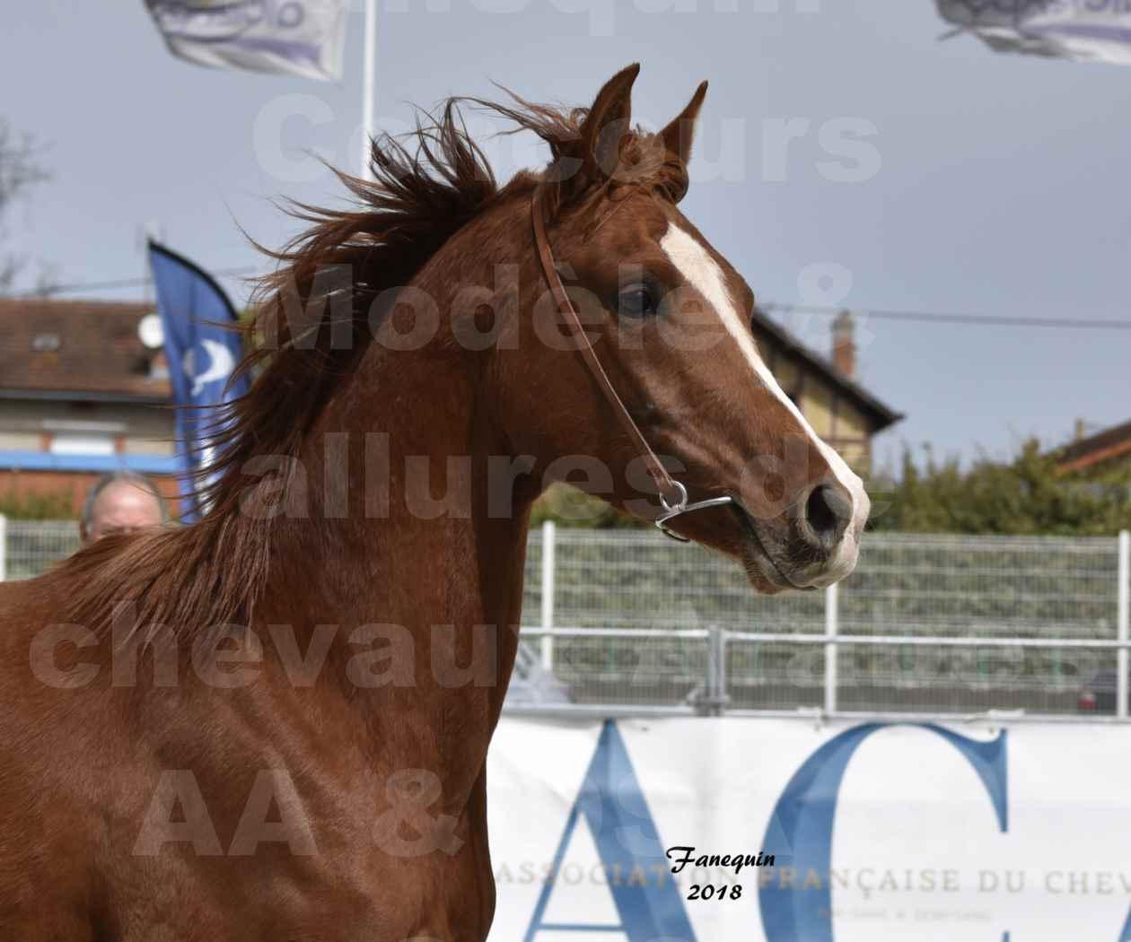 Concours d'élevage de Chevaux Arabes - D. S. A. - A. A. - ALBI les 6 & 7 Avril 2018 - FLEURON CONDO - Notre Sélection - Portraits - 2