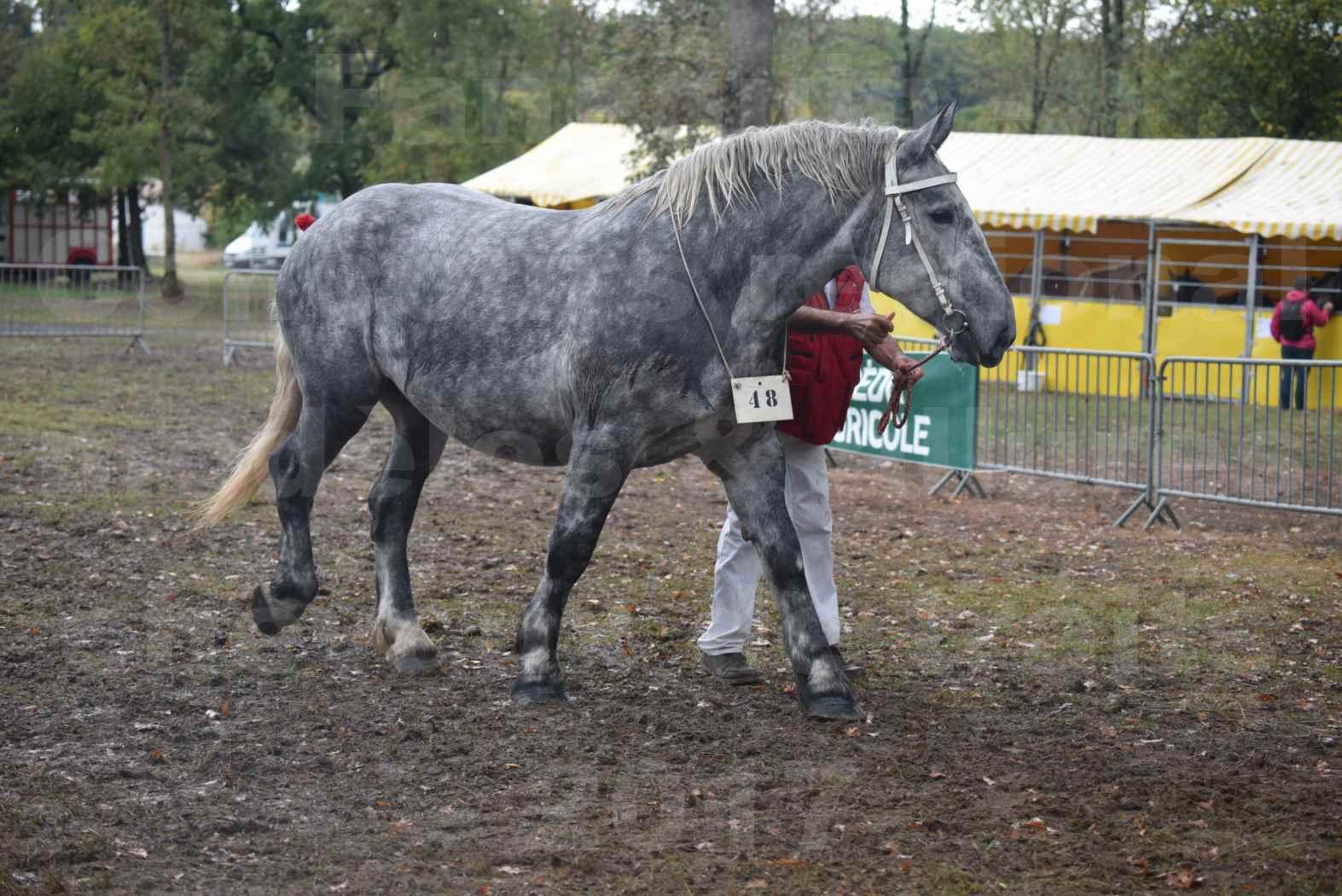 Concours Régional de chevaux de traits en 2017 - Pouliche Trait PERCHERON - ÉCAILLE DU RAMIER - 12