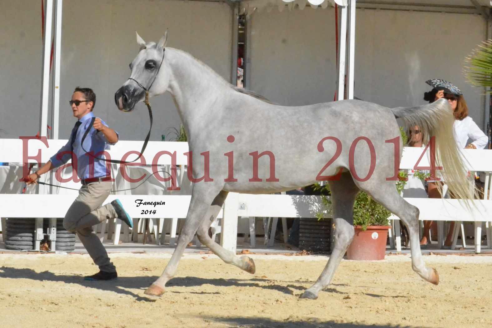 Concours National de Nîmes de chevaux ARABES 2014 - Notre Sélection - ELLESTERA - 15