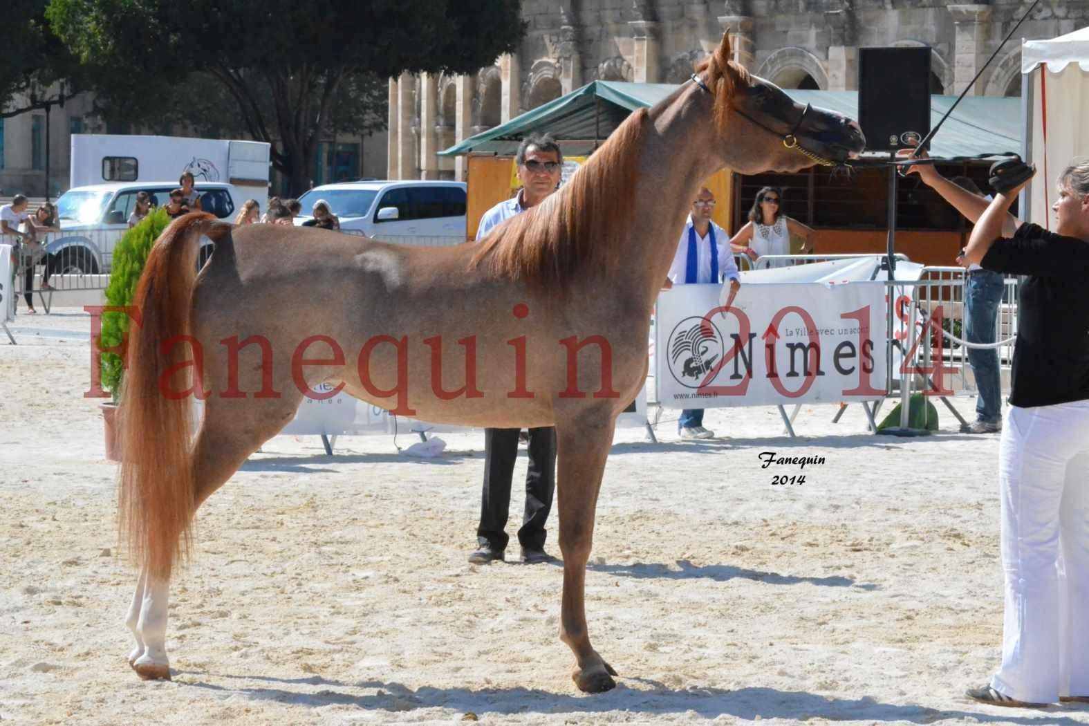 Concours National de Nîmes de chevaux ARABES 2014 - Notre Sélection - ABYSS DE RODET - 9
