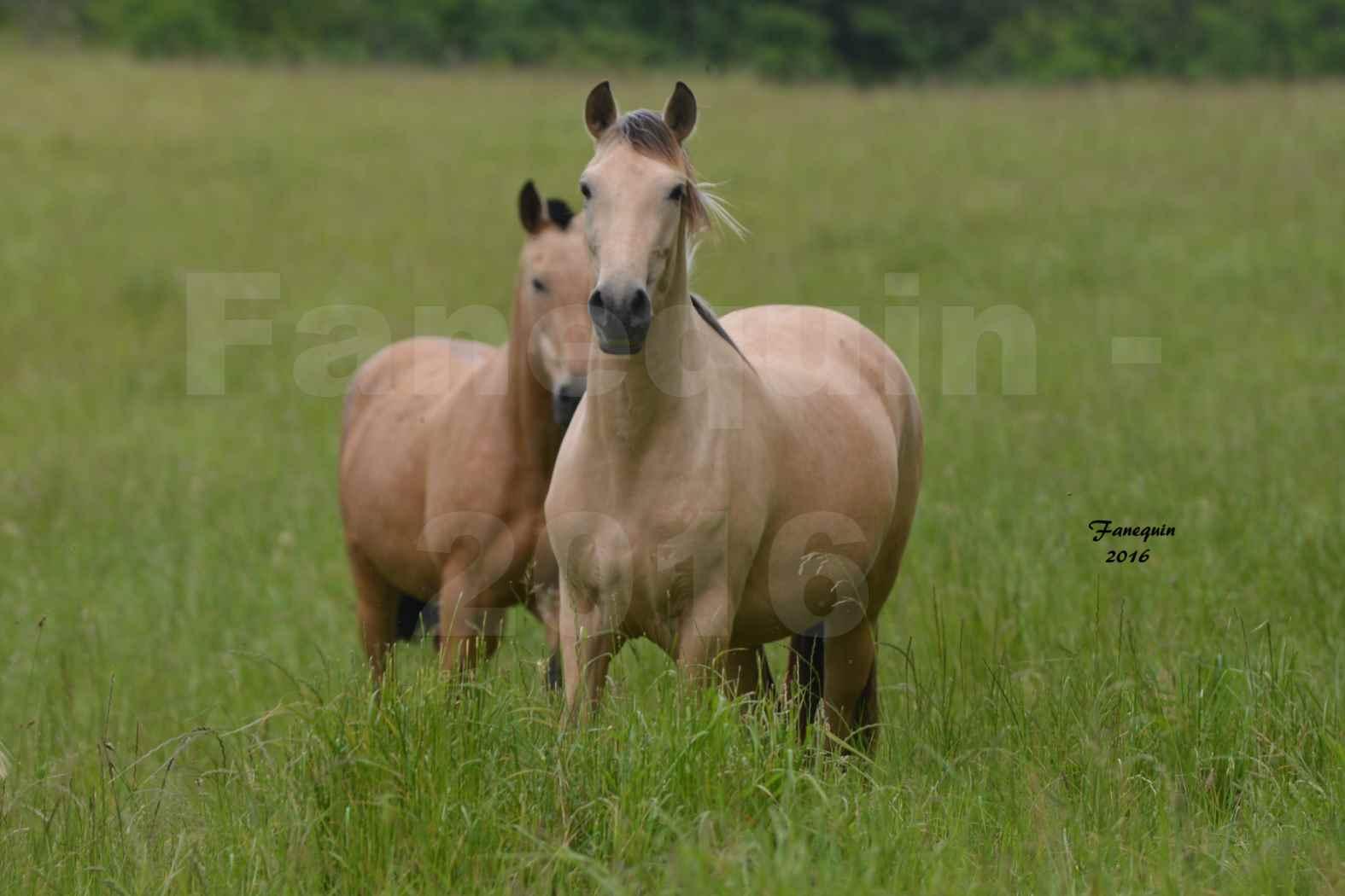 Chevaux PRE de l'élevage DEL TESSUOR - Frédérique VIGNE - 17