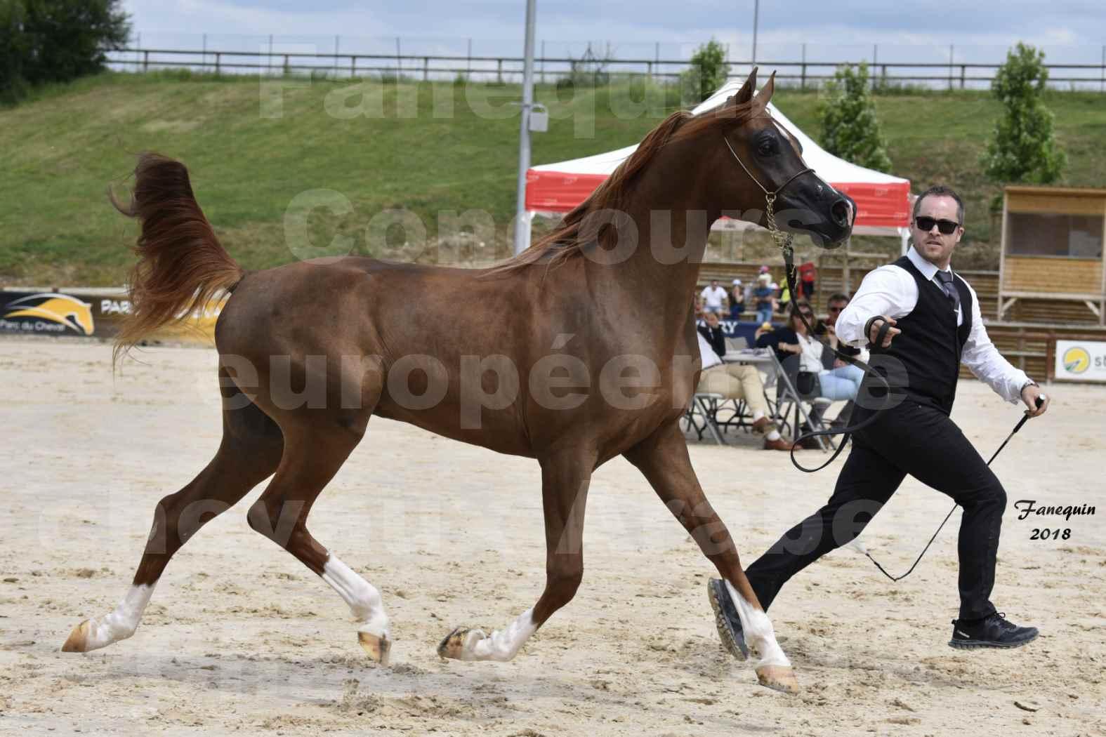 Concours Européen de chevaux Arabes à Chazey sur Ain 2018 - FANTASTIK - Notre Sélection - 4