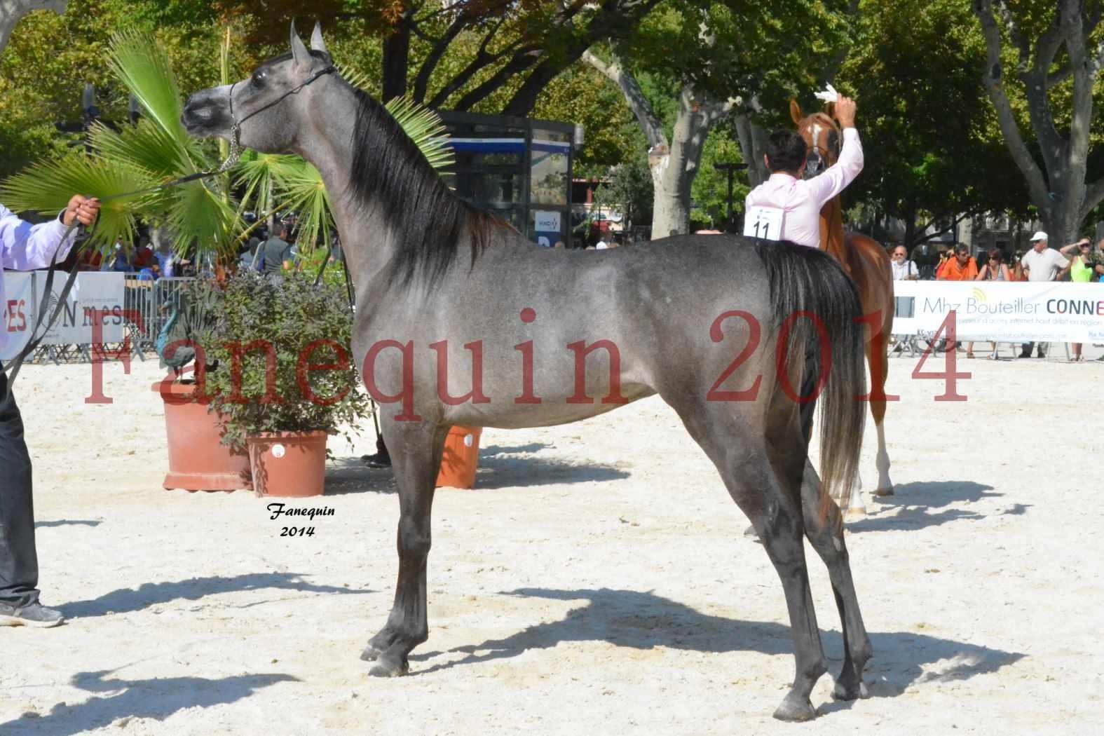 Concours National de Nîmes de chevaux ARABES 2014 - Notre Sélection - JOSEPH'S BOUZIOLS - 13
