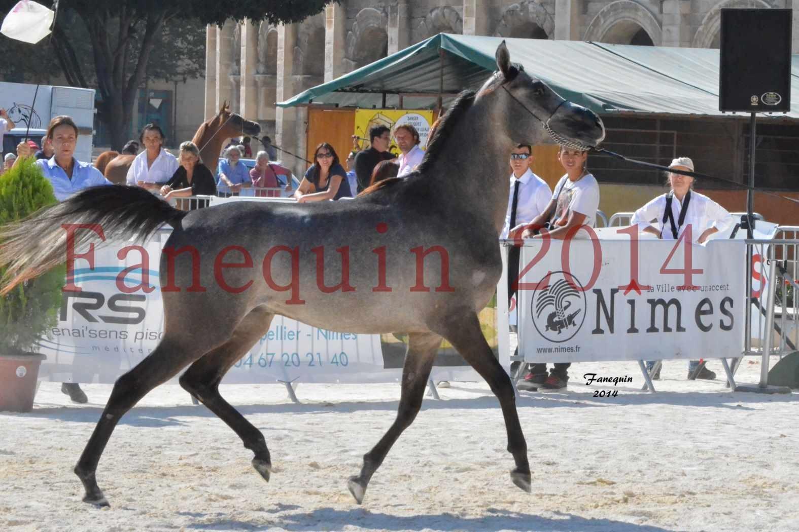 Concours National de Nîmes de chevaux ARABES 2014 - Notre Sélection - JOSEPH'S BOUZIOLS - 08
