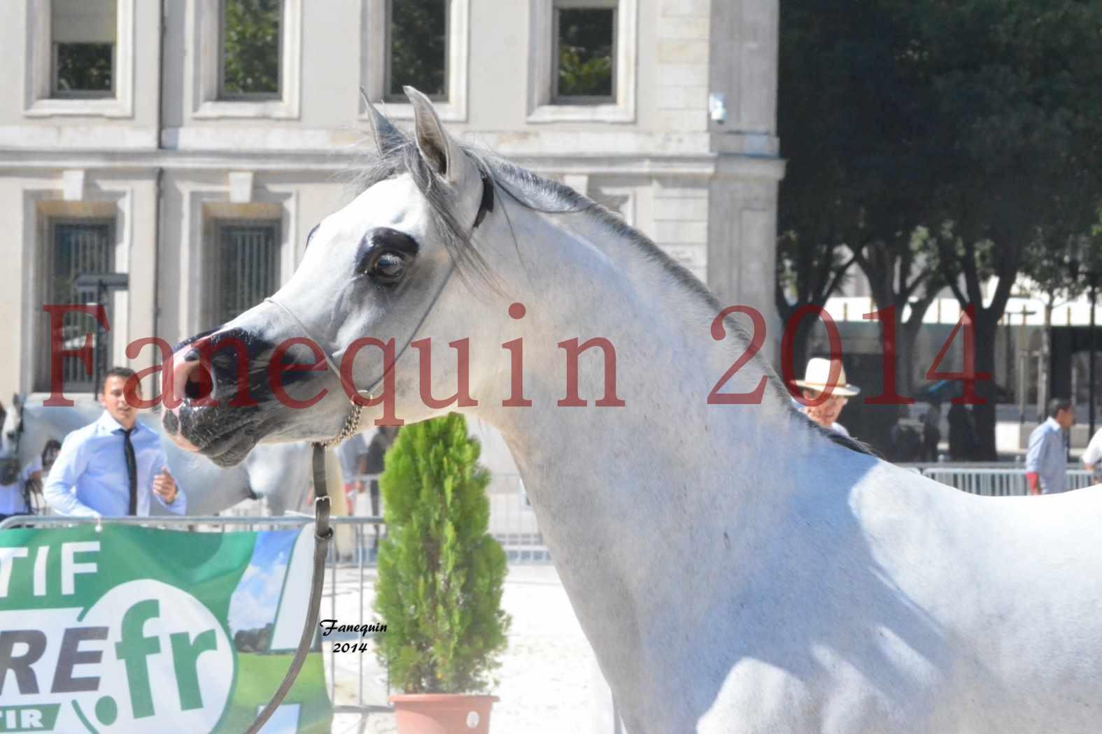 Concours National de Nîmes de chevaux ARABES 2014 - Notre Sélection - Portraits - SHAOLIN DE NEDJAIA - 11