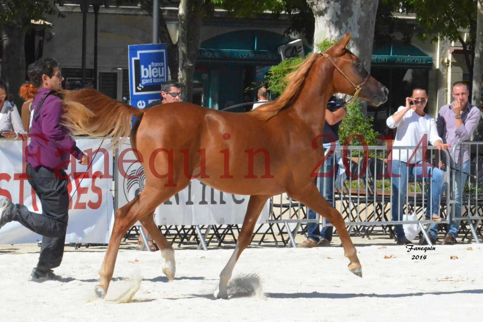 Concours National de Nîmes de chevaux ARABES 2014 - Notre Sélection - TSAR NERIO - 07