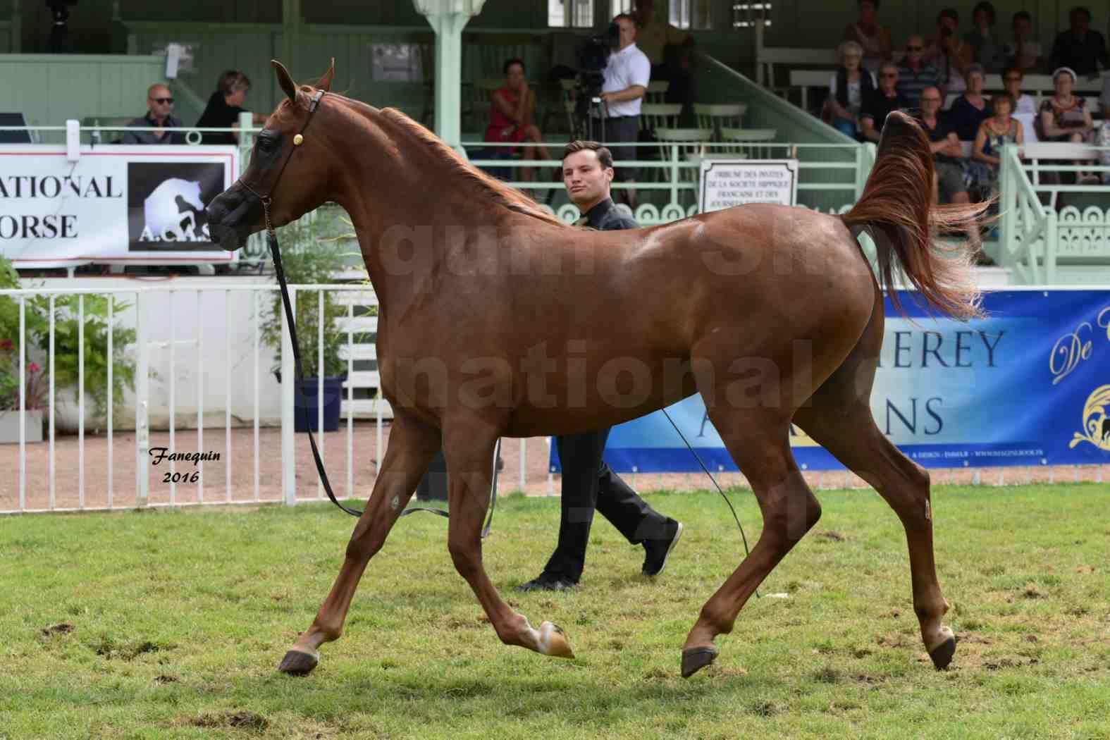 International Arabian Horse Show B de VICHY 2016 - PEARL DE DJOON - Notre Sélection - 31