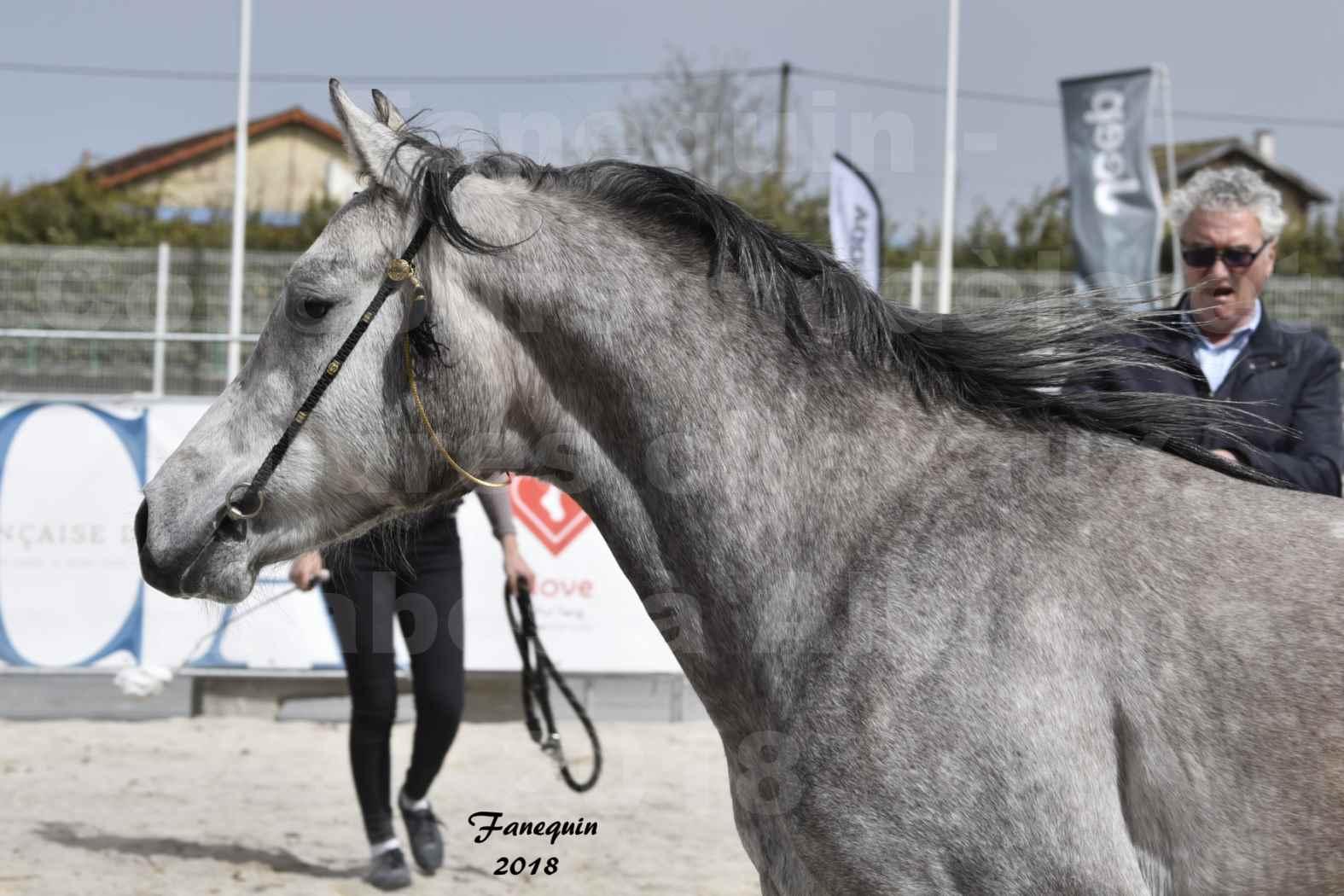 Concours d'élevage de Chevaux Arabes - Demi Sang Arabes - Anglo Arabes - ALBI les 6 & 7 Avril 2018 - FLORAC LARZAC - Notre Sélection - Portraits - 1