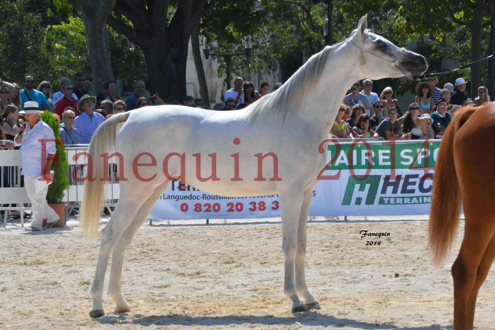 Concours National de Nîmes de chevaux ARABES 2014 - ENVY ETERNITY - 07